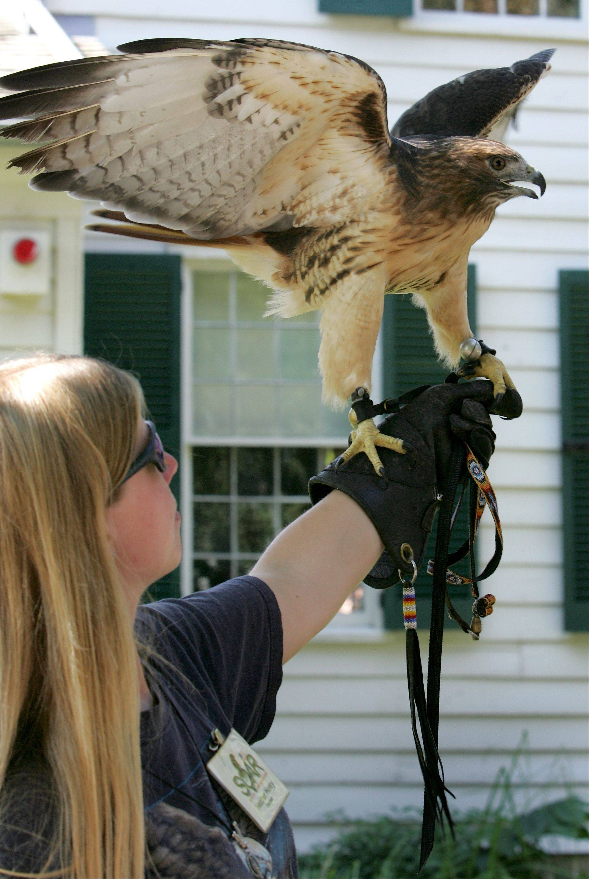 Visitors can see red-tailed hawks and other birds of prey -- including a bald eagle -- in presentations by SOAR Illinois during the Harvest Pow Wow at Naper Settlement.