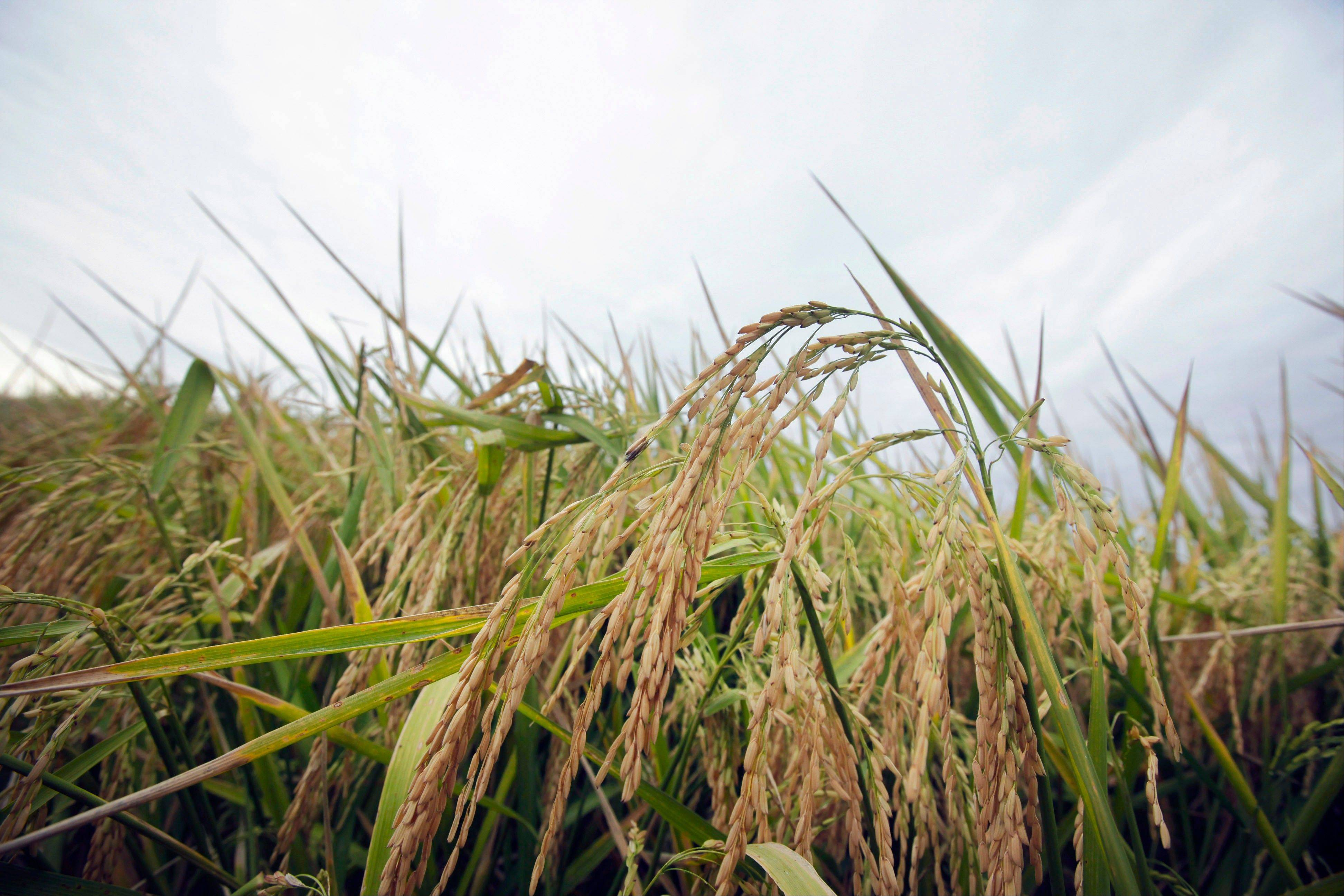 Consumer groups are pressuring the U.S. Food and Drug Administration to set federal guidance on allowable levels of arsenic in rice, prompting the agency to consider possible new standards.