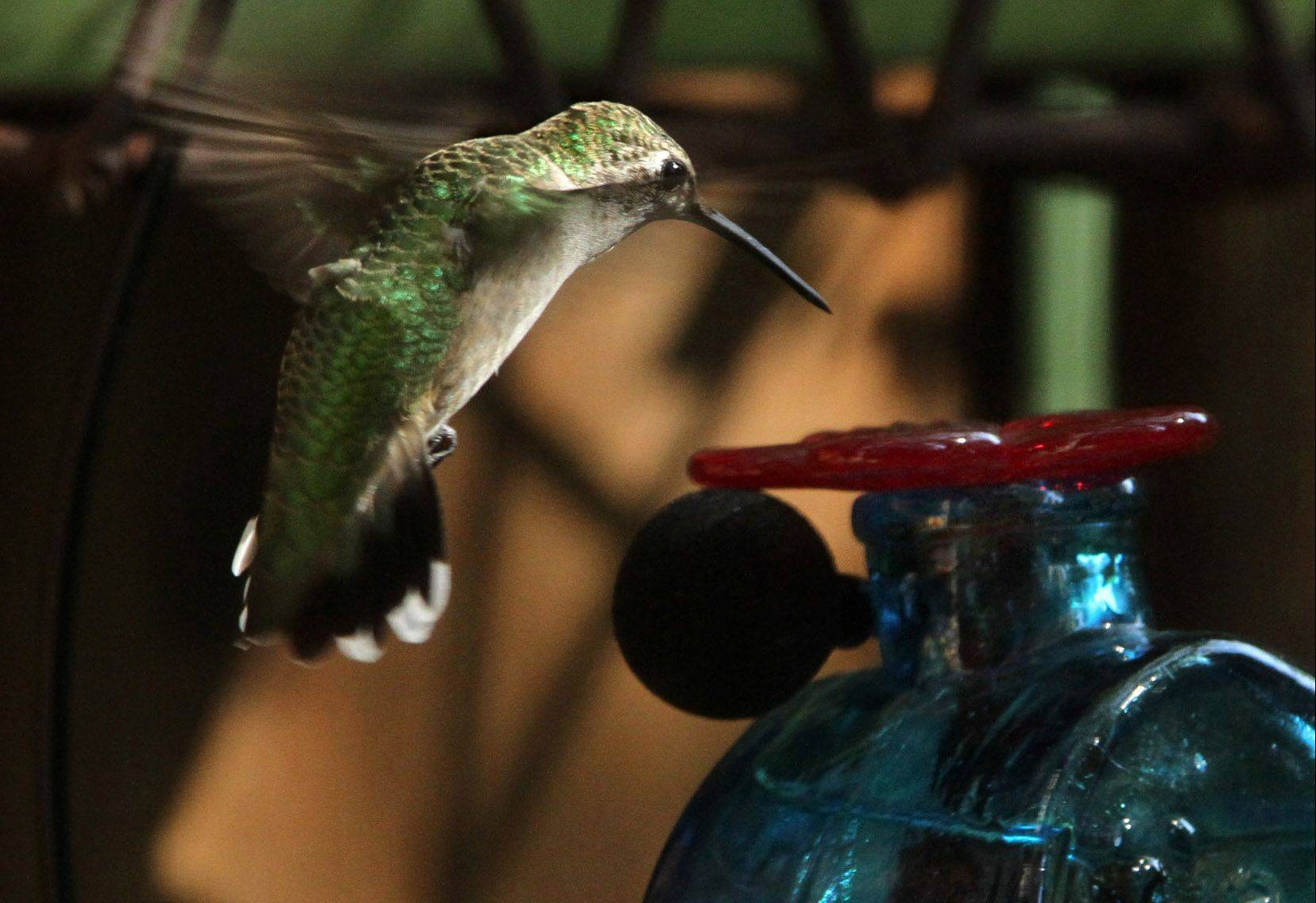 A female 3-inch ruby-throated hummingbird puts the brakes on approaching a non-perch feeder. The wireless tie-clip microphone was attached by Daily Herald photographer George LeClaire.