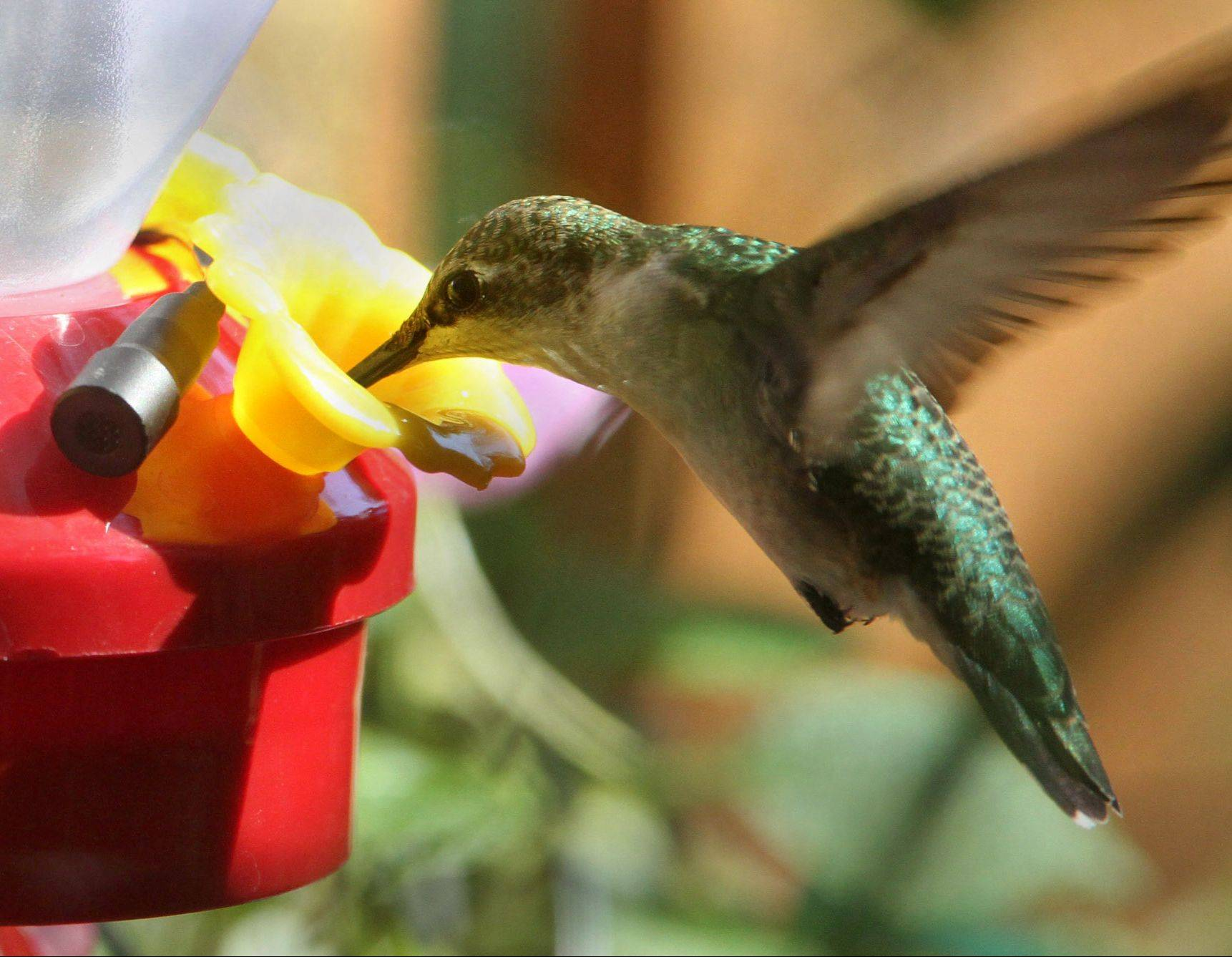 A ruby-throated hummingbird feeds from a non-perch feeder, beating its wings 60 times per second to stay in place.