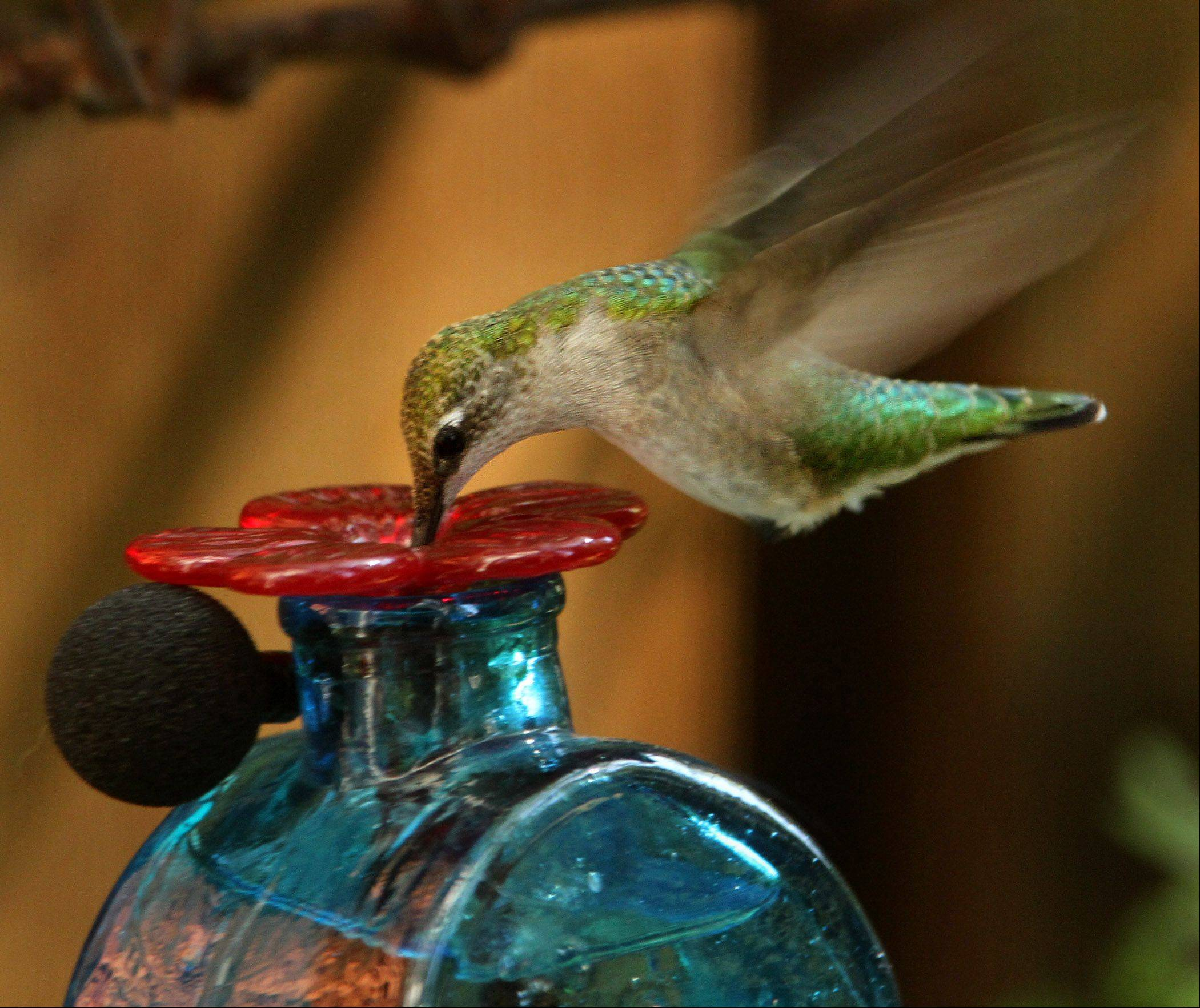 A ruby-throated hummingbird feeds from a feeder.