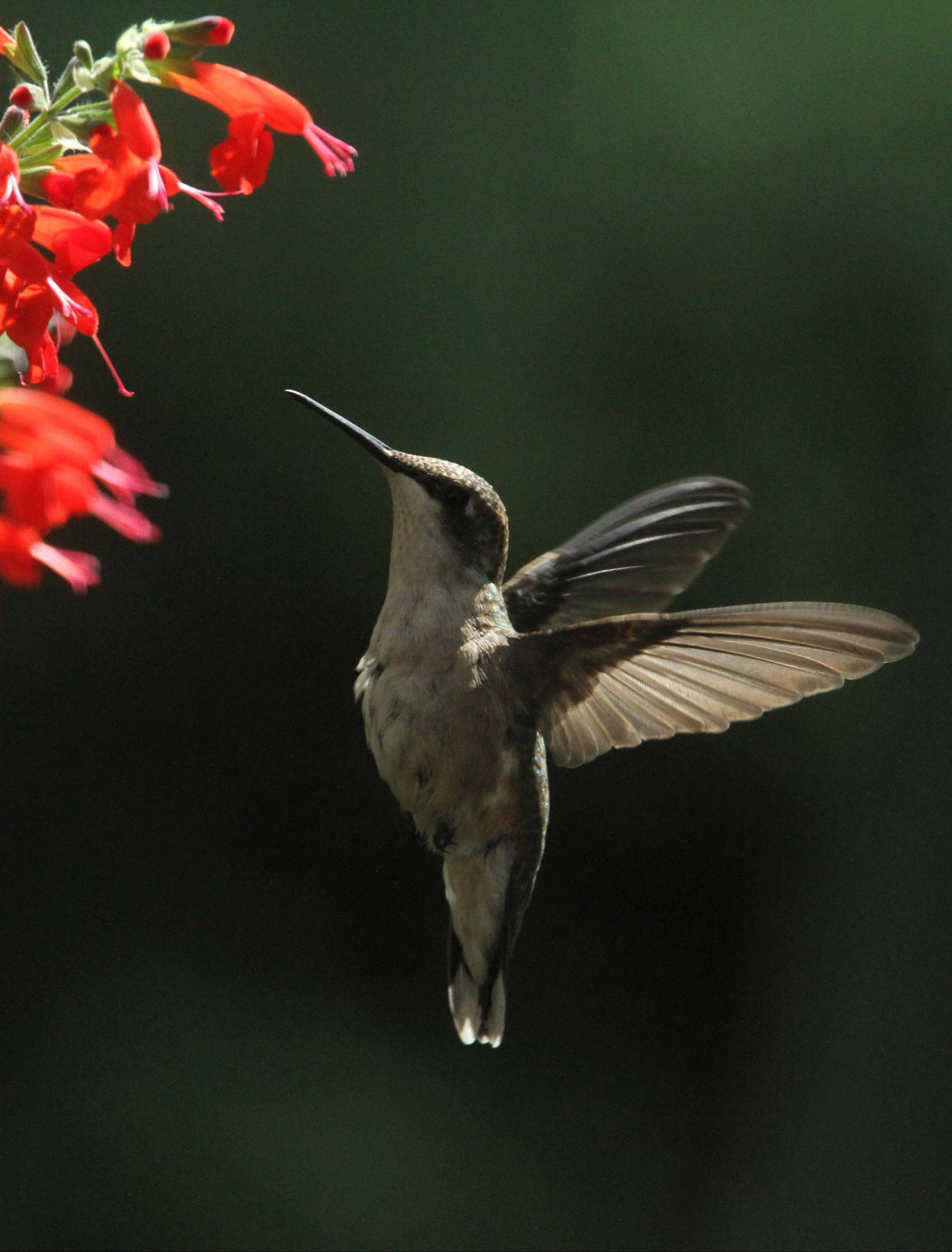 A female ruby-throated hummingbird flies upward to red-salvia flowers in Glenview.