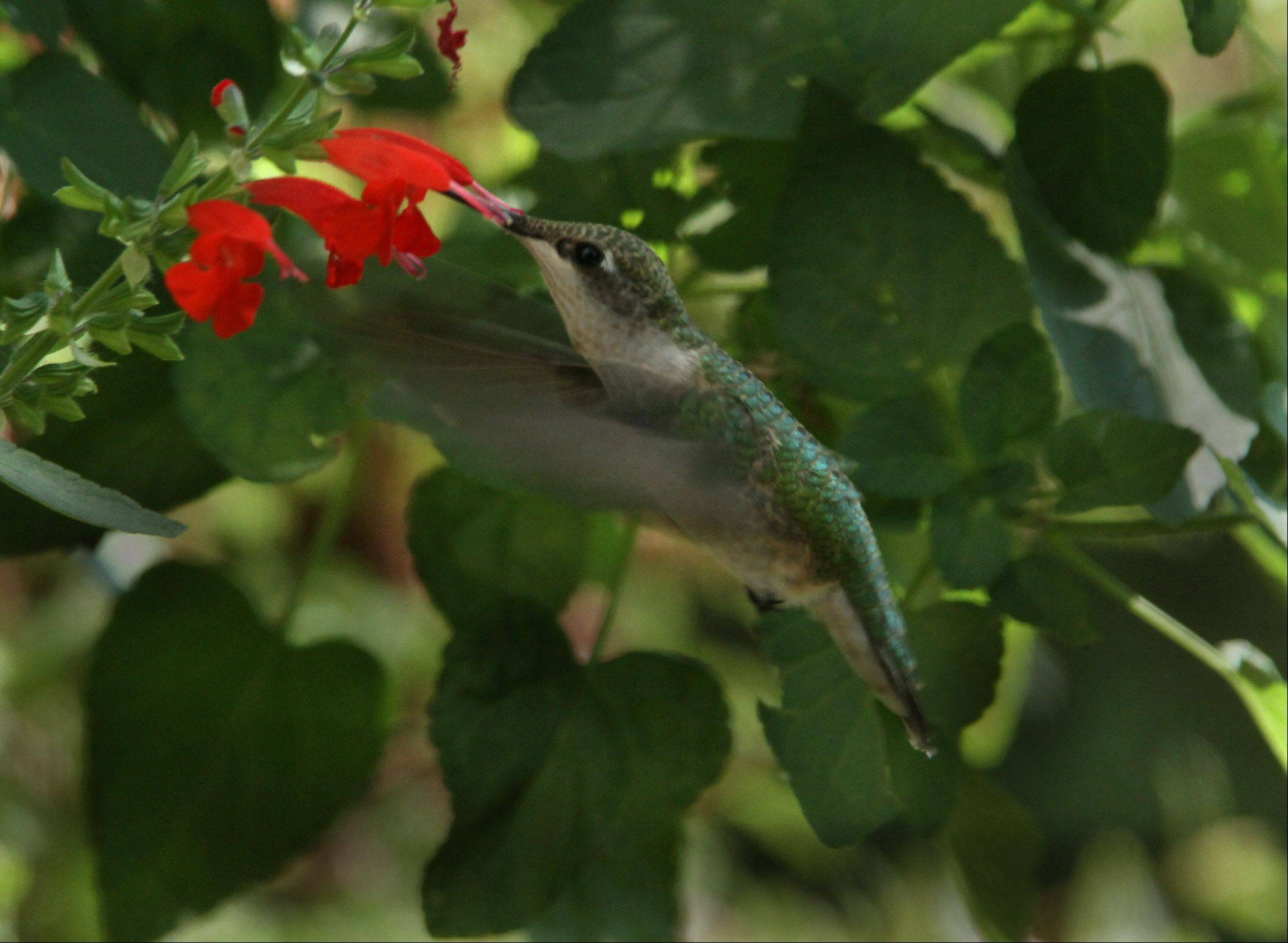 The hummingbird hangs seemingly motionless.