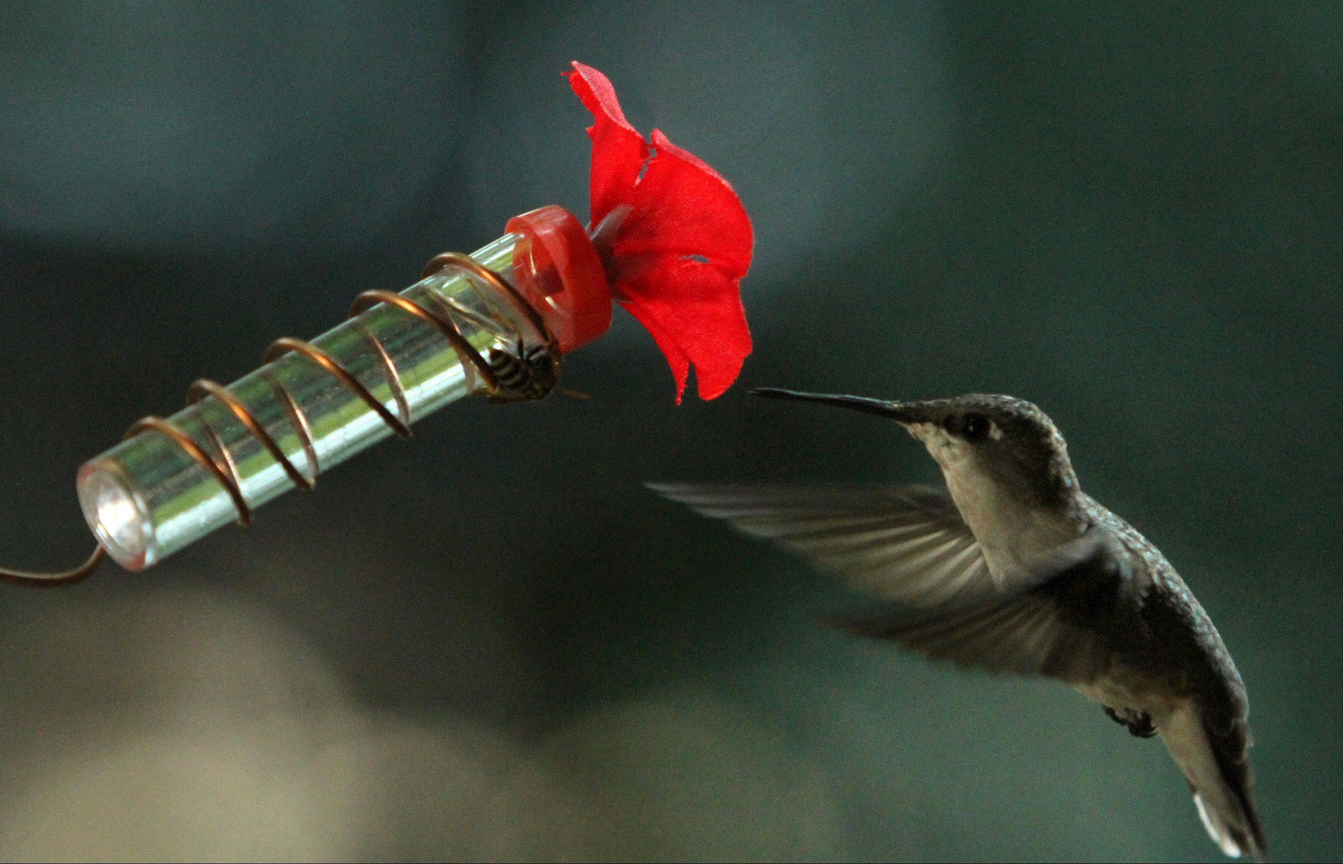 The sugar water-filled feeder is made from a 3-inch glass soil tester tube and a plastic flower.