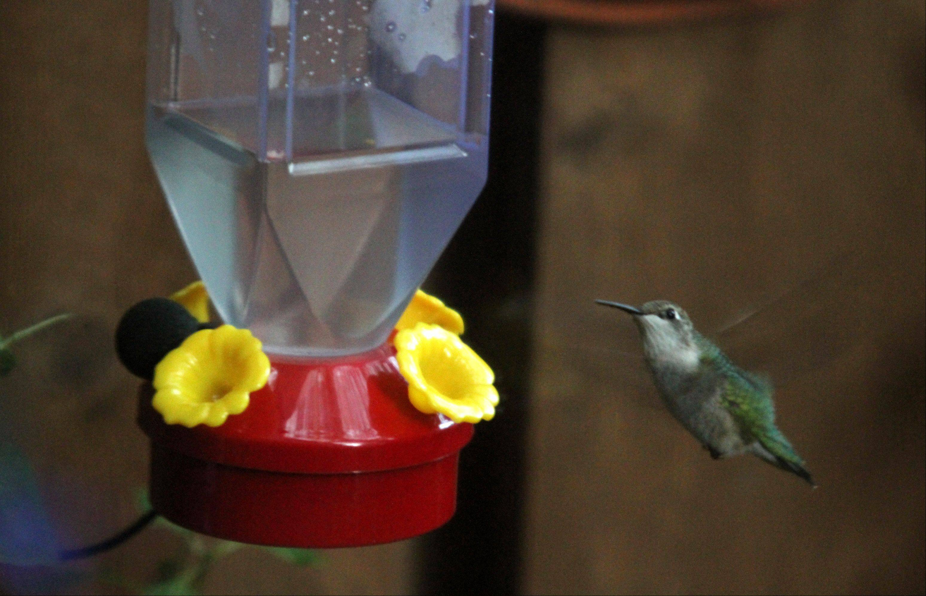 A ruby-throated hummingbird approaches a feeder.