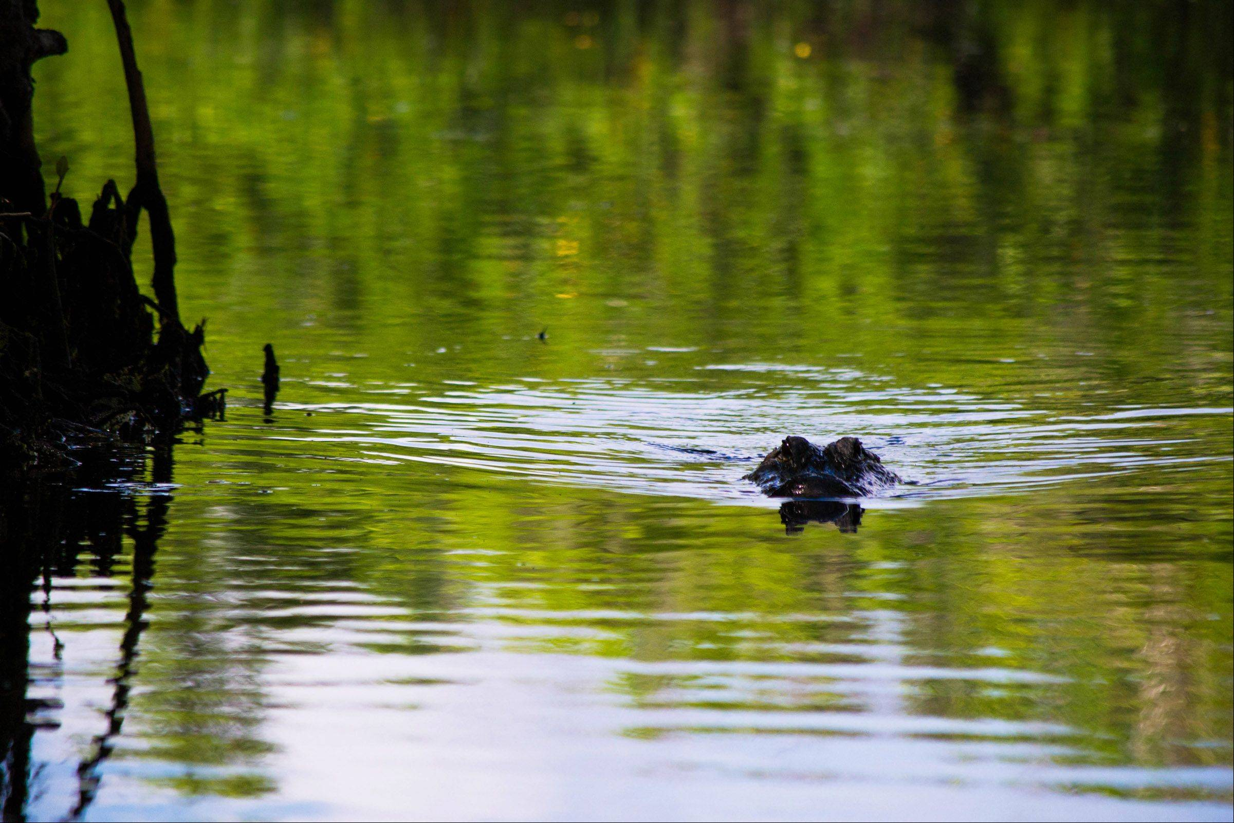 An American alligator approaches the shore while in the Everglades, Fla. on Friday, September 14th.