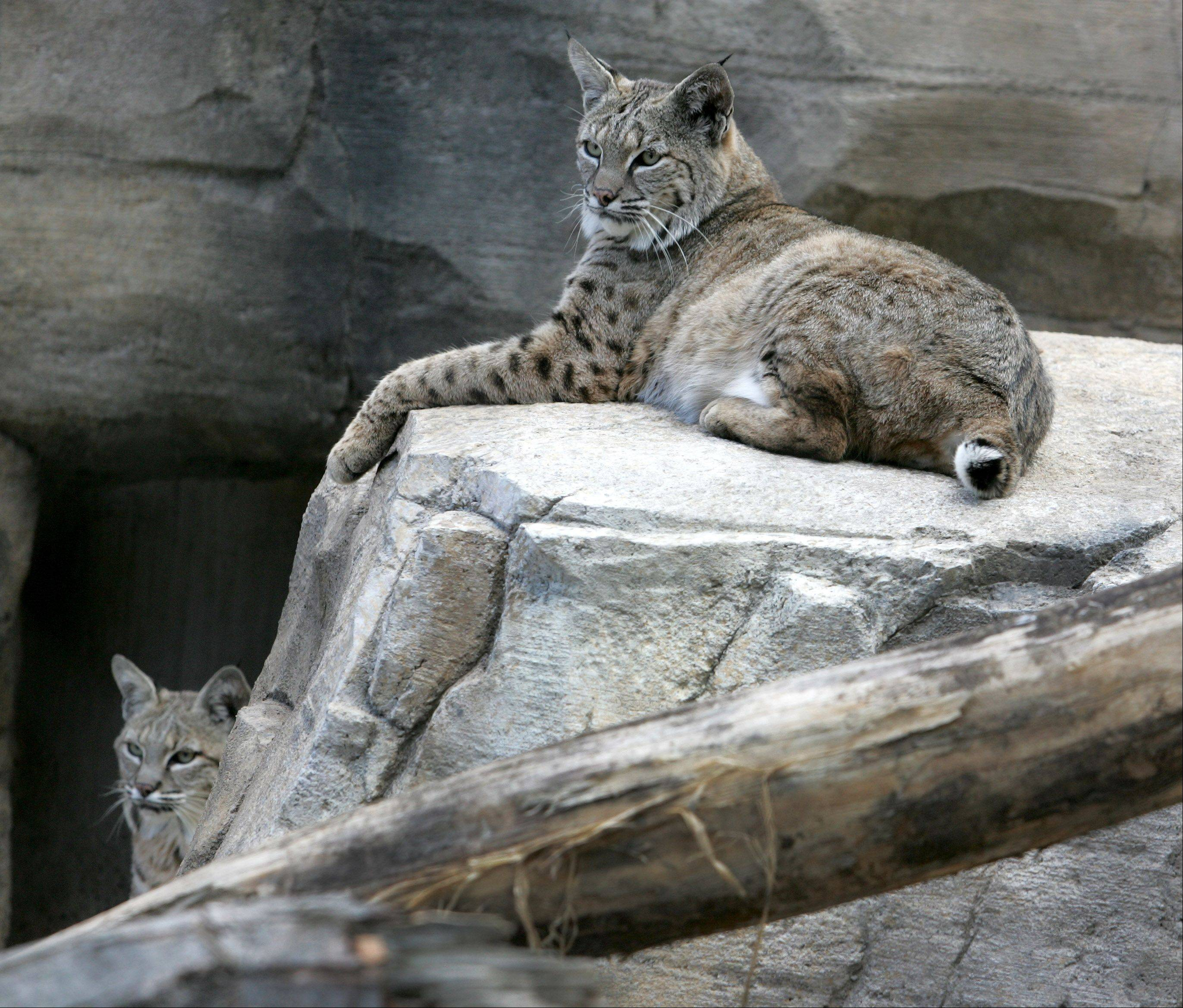 Salvatore, right, and his brother Valentino, left, are getting used to their new home at the new bobcat exhibit at Cosley Zoo in Wheaton.