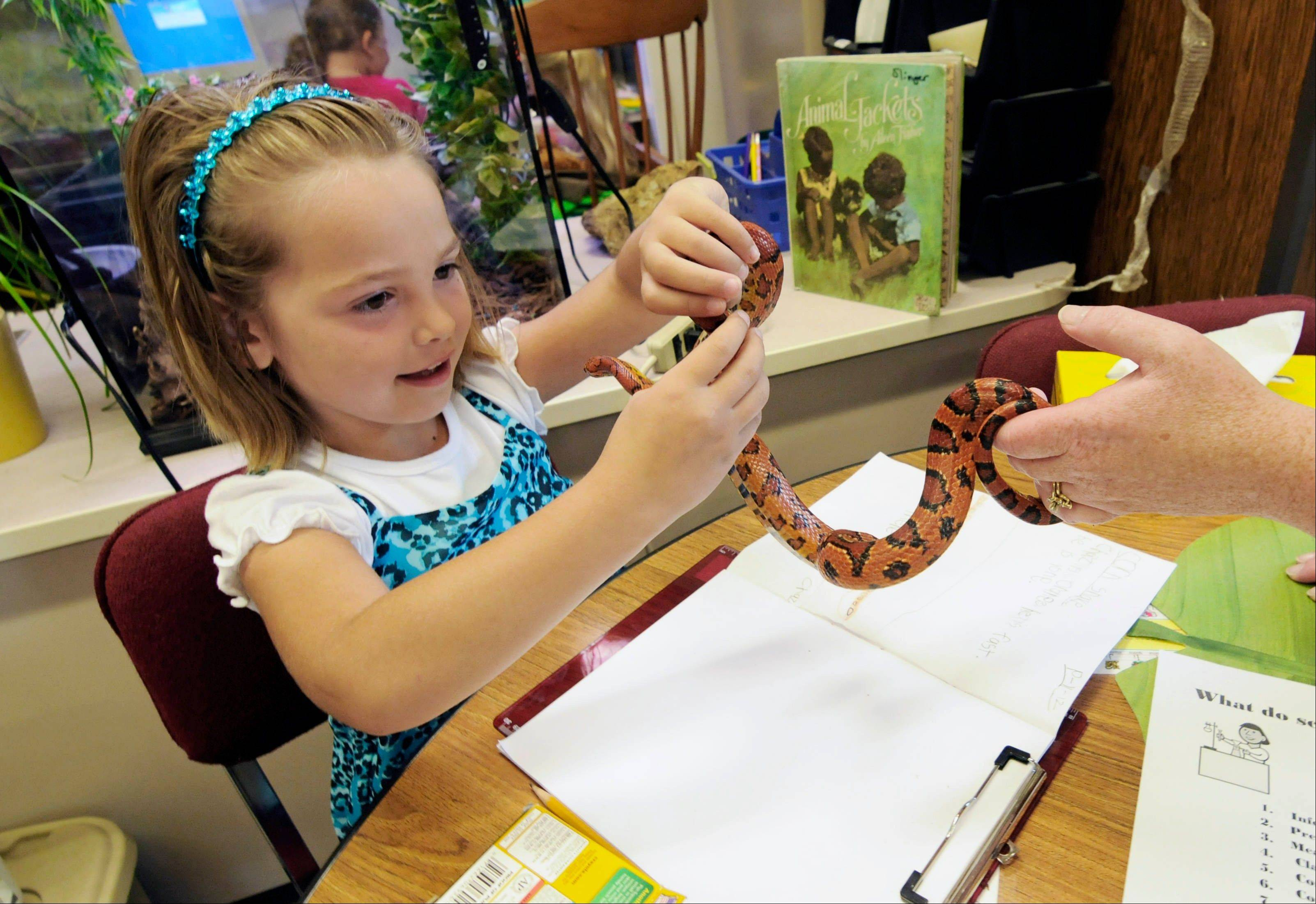 Hailey Fink gets acquainted with a corn snake in the first-grade classroom of Dawn Slinger in Farmington, Minn.