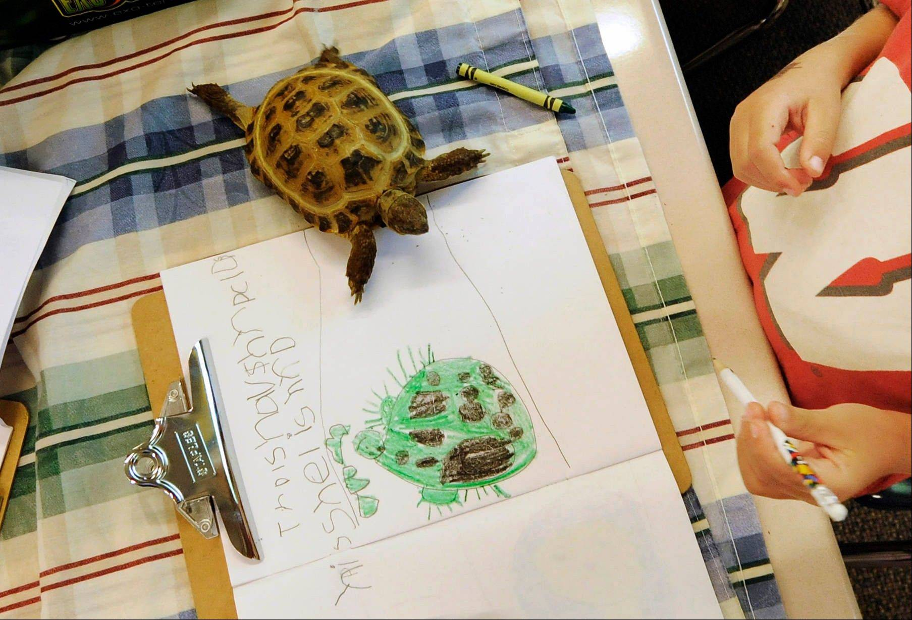 A tortoise walks on a coloring project by Gavin Thoen in the first-grade classroom of Dawn Slinger in Farmington, Minn. When the school year is over, each student's work becomes a book.