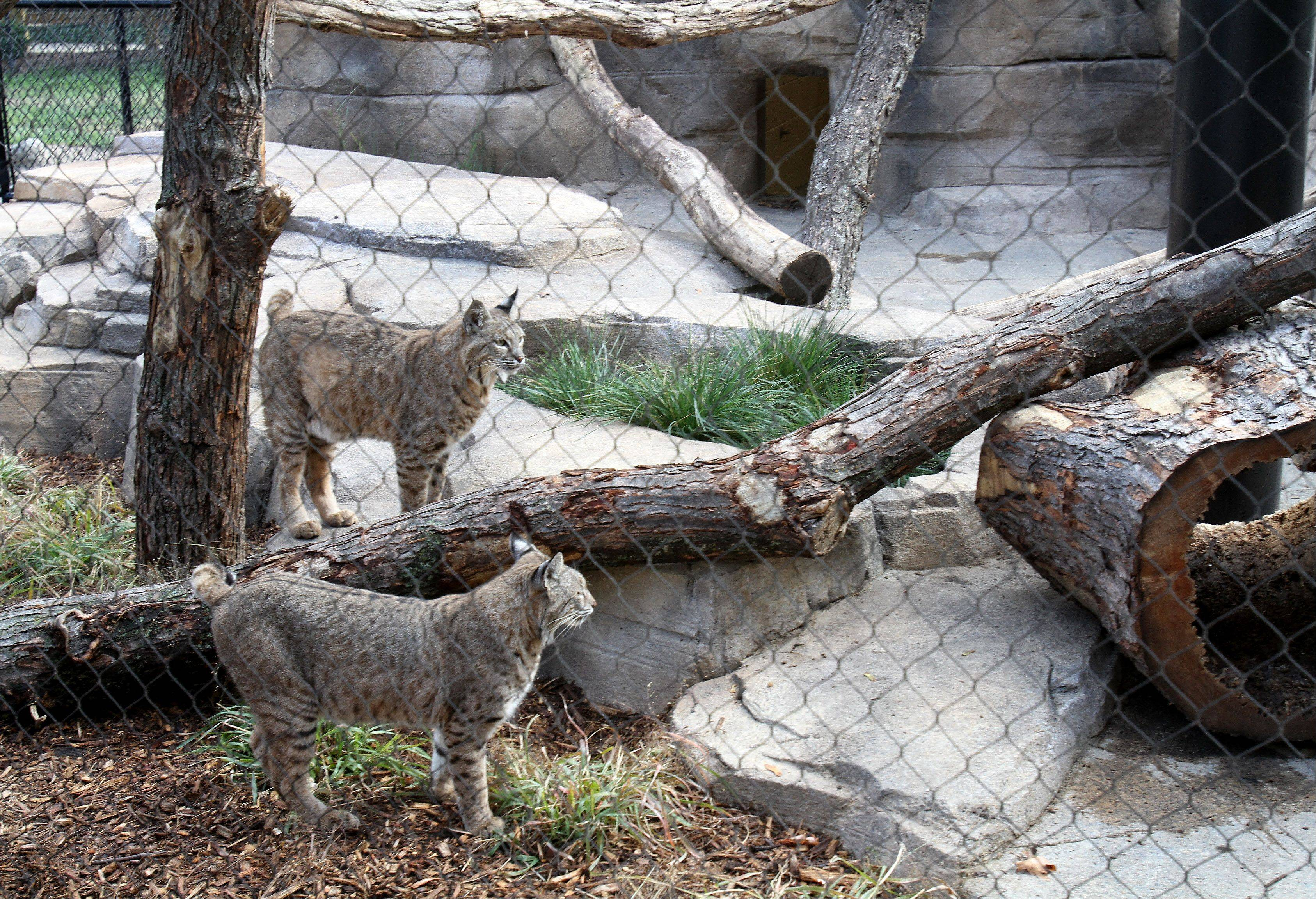 Salvatore and Valentino at the new bobcat exhibit at Cosley Zoo in Wheaton.