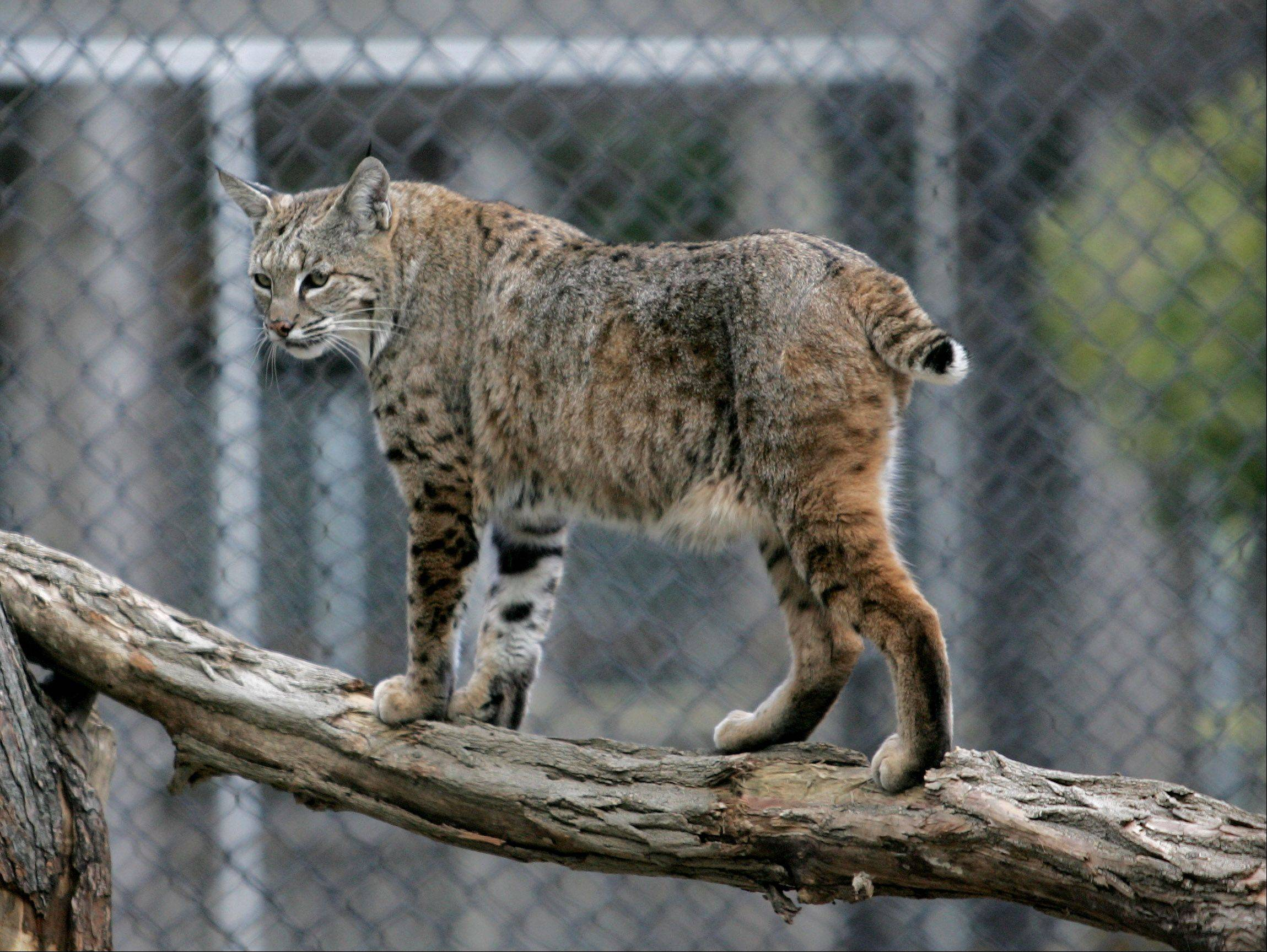 Salvatore checks things out at the bobcat exhibit now open at Cosley Zoo in Wheaton.