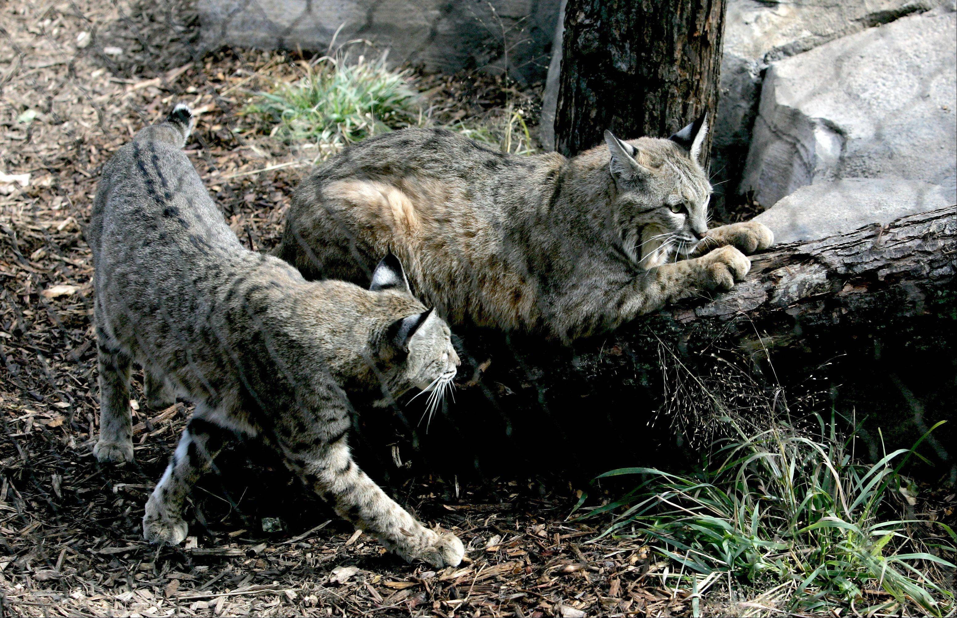 Cosley Zoo acquired brothers Salvatore, left, and Valentino from a humane society in California.