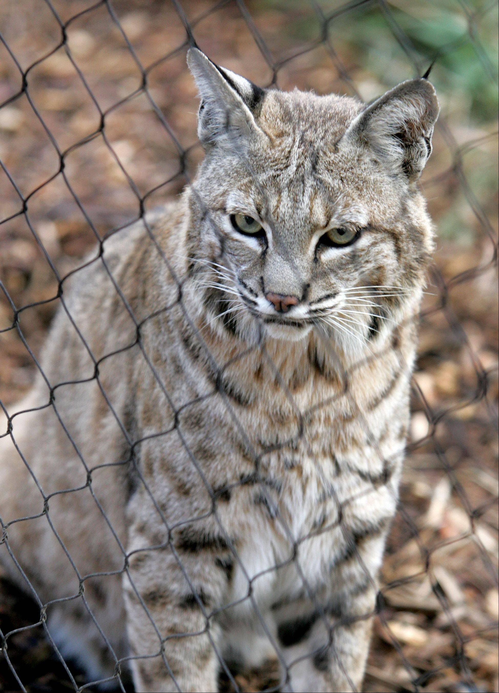 Valentino takes a look out at his new surroundings at Cosley Zoo. Bobcats are one of only two species of wild cats native to Illinois.