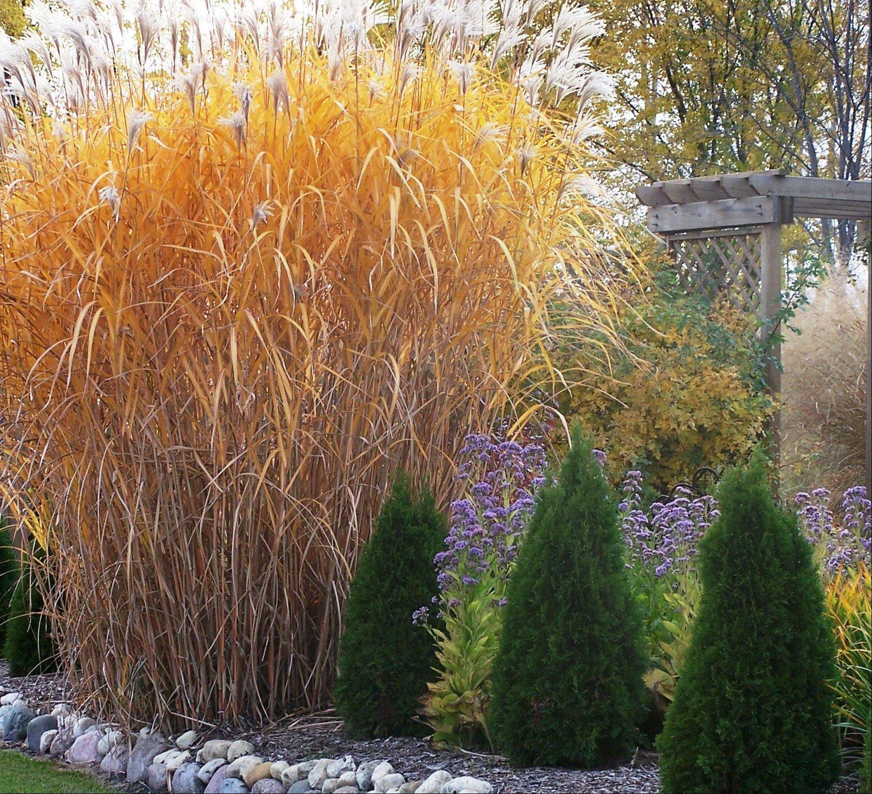 Miscanthus floridulus shows fall color.