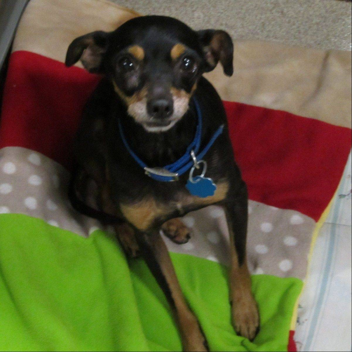 Archie, a male miniature Pinscher mix, is about 10 years old and weighs around 13 pounds.
