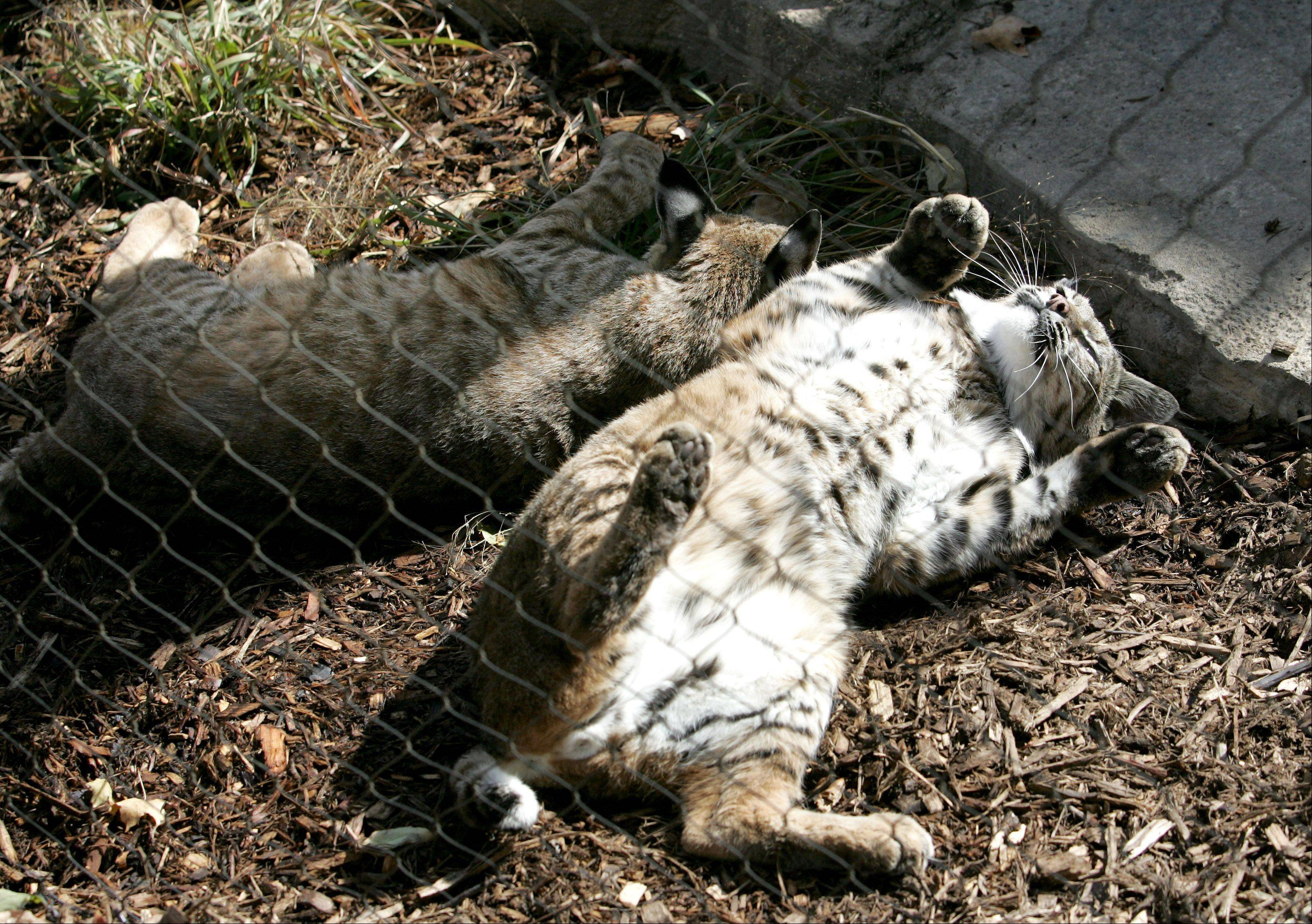 Salvatore, right, and Valentino are feeling pretty relaxed in their new home, the new bobcat exhibit at Cosley Zoo in Wheaton.
