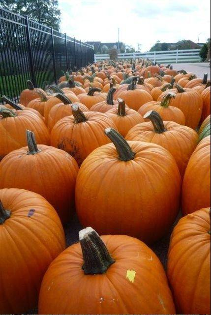 The dry, hot summer that devastated the corn crop, scalded tomato plants and turned suburban lawns brown didn't cut into the pumpkin harvest at Goebbert's Farm & Garden Center in South Barrington.