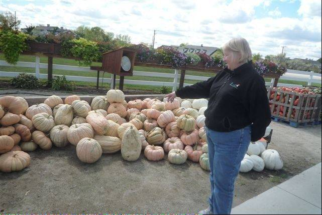 In lean years, manager Sue Murdock has to buy some pumpkins to supplement the inventory at Goebbert's Farm & Garden Center in South Barrington. But this year's pumpkin crop is keeping up with demand.