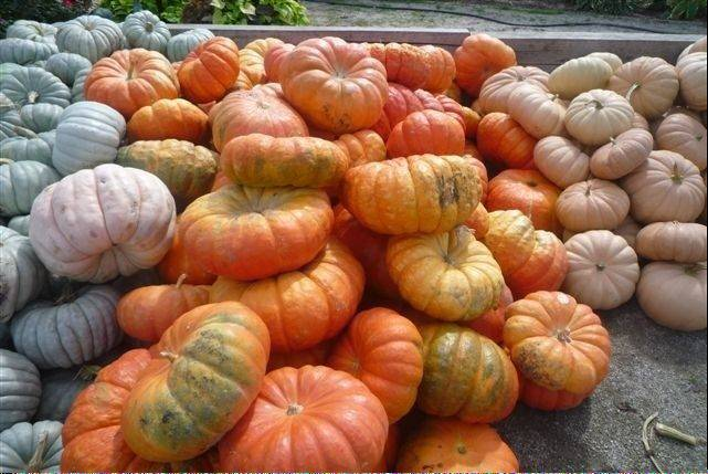 Orange pumpkins still dominate the field, but pumpkins of green, pink and white give customers more variety.