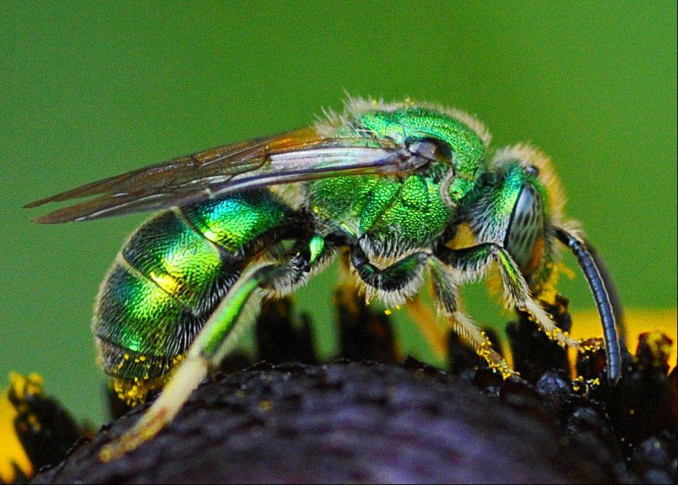"""Sweat bees"" like to lick the sweat off our skin. They're among the 500 species of bees native to Illinois."