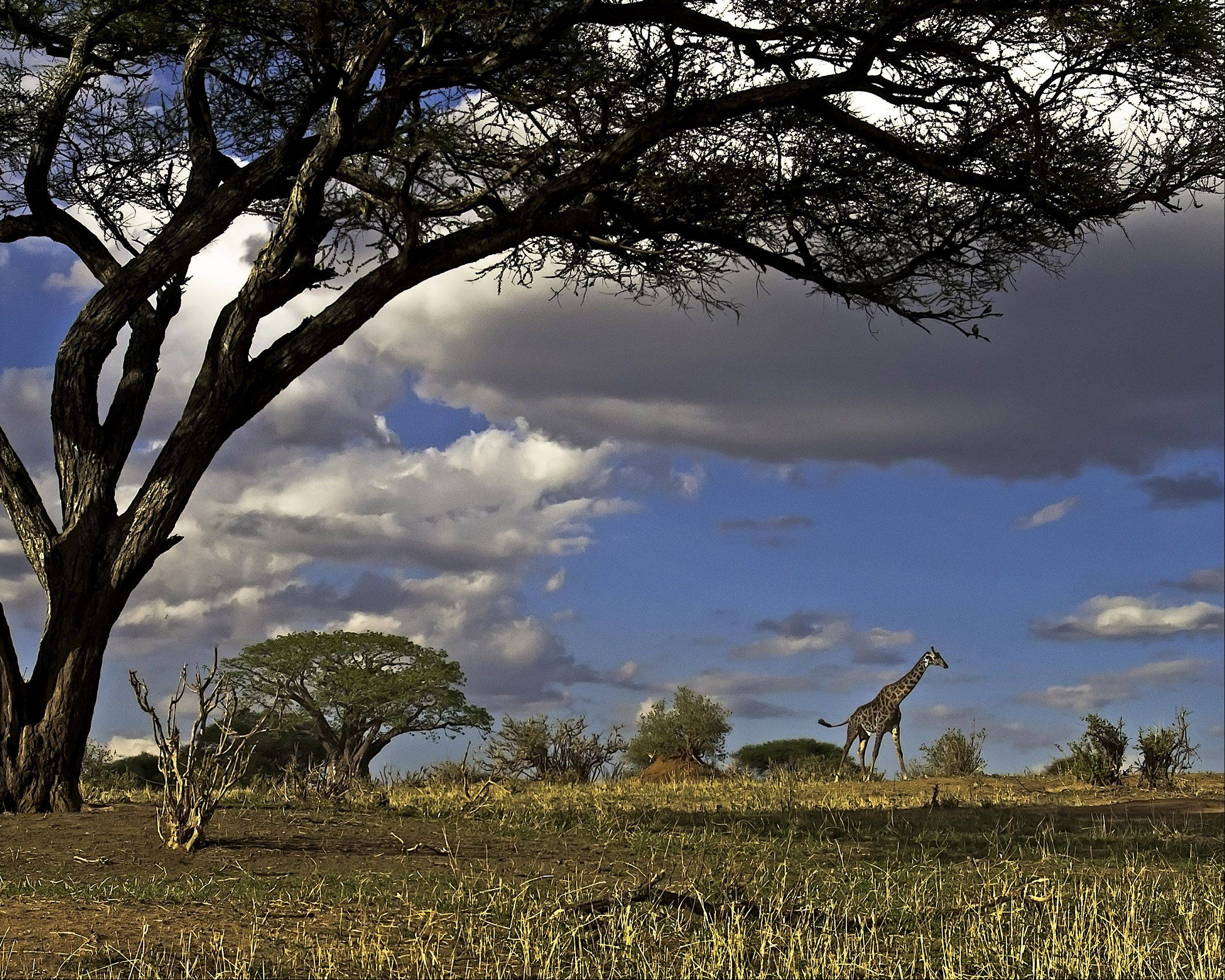 A giraffe walks across the savanna in Tarangire National Park, Tanzania on November 4, 2011. Giraffes are struggling with their survival due to the loss of habitat and poachers.