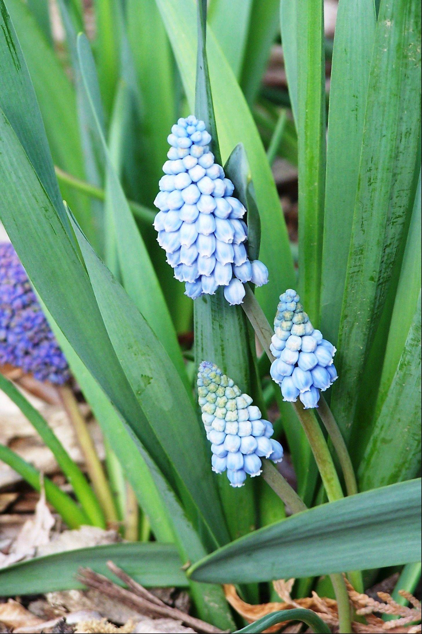 Grape hyacinths brighten gardens with a fragrant spike of blooms.