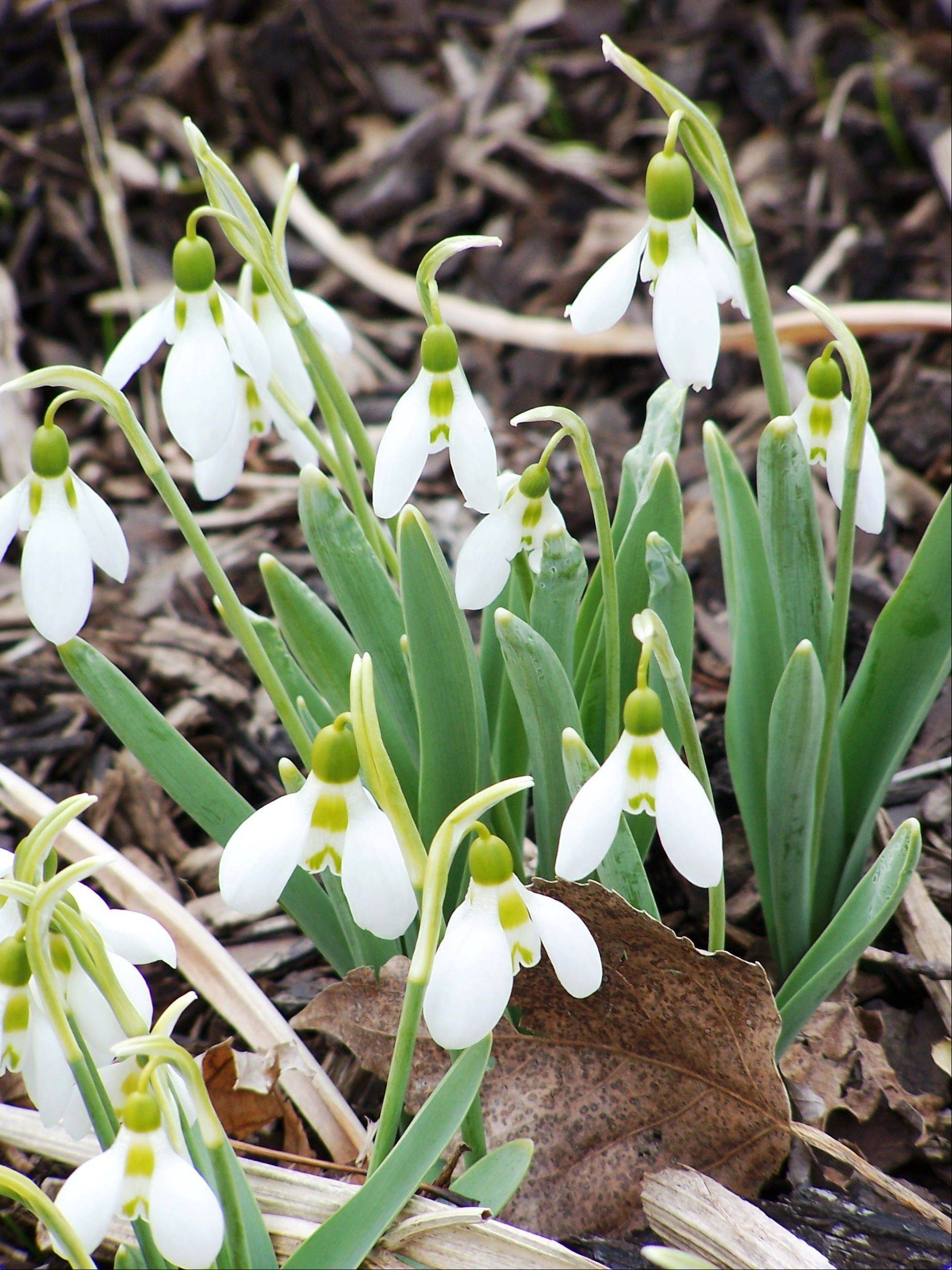 Galanthus, commonly called snowdrops, look good planted in a rock garden or along a pathway.