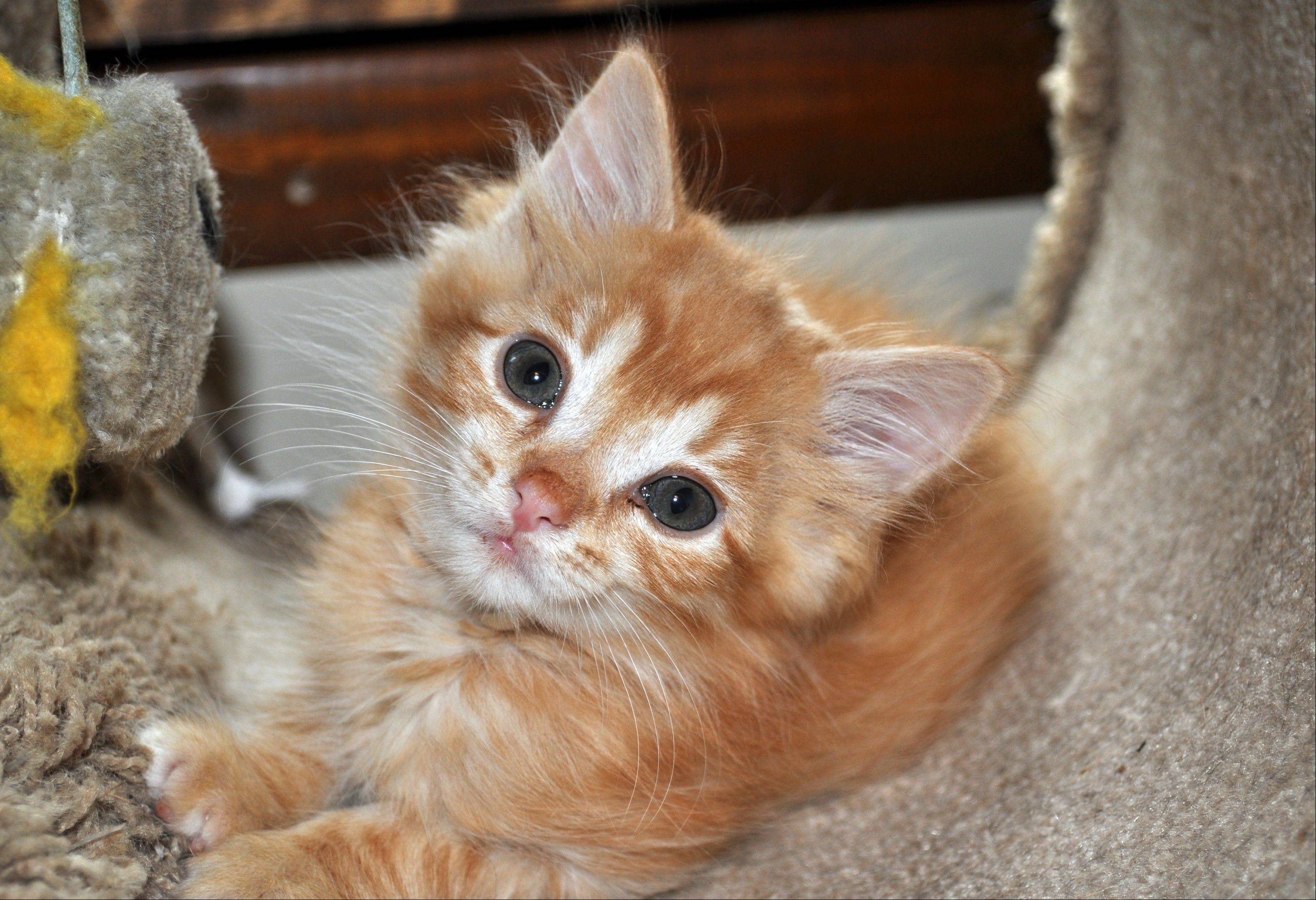 Three-month-old Cheddar, weighing a mere 1� pounds, plays in a cat tower last summer in Columbus, Ohio. In most cases, if a runted dog or cat makes it through six to eight weeks, it will likely survive and will probably get close to full size, according to experts.