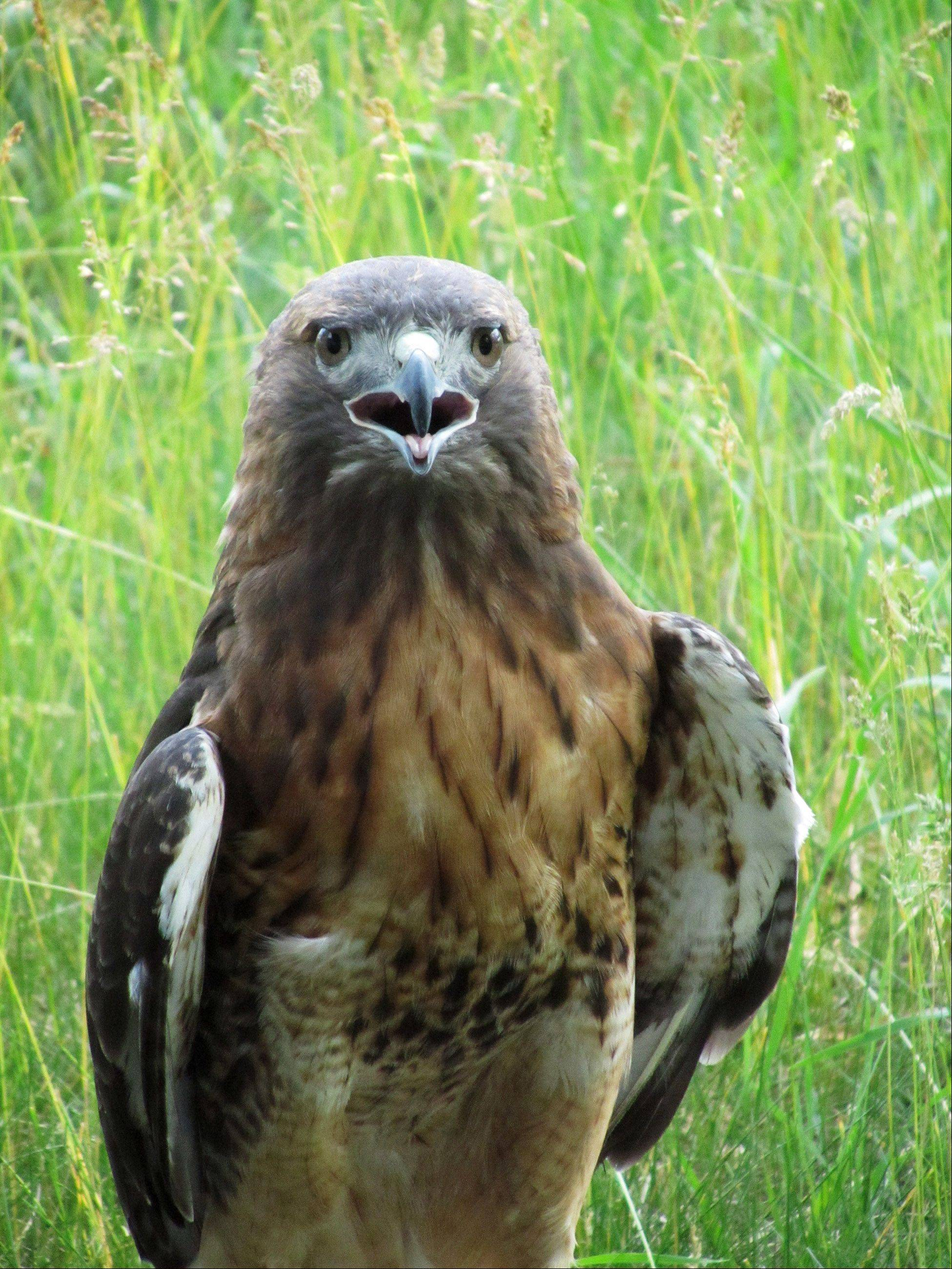 "Todd A. Sherlock of Wheaton says he calls this shot ""Hawk-Eye."" ""It was taken on one of my walks at Herrick Lake (Forest Preserve) in July,"" he says."