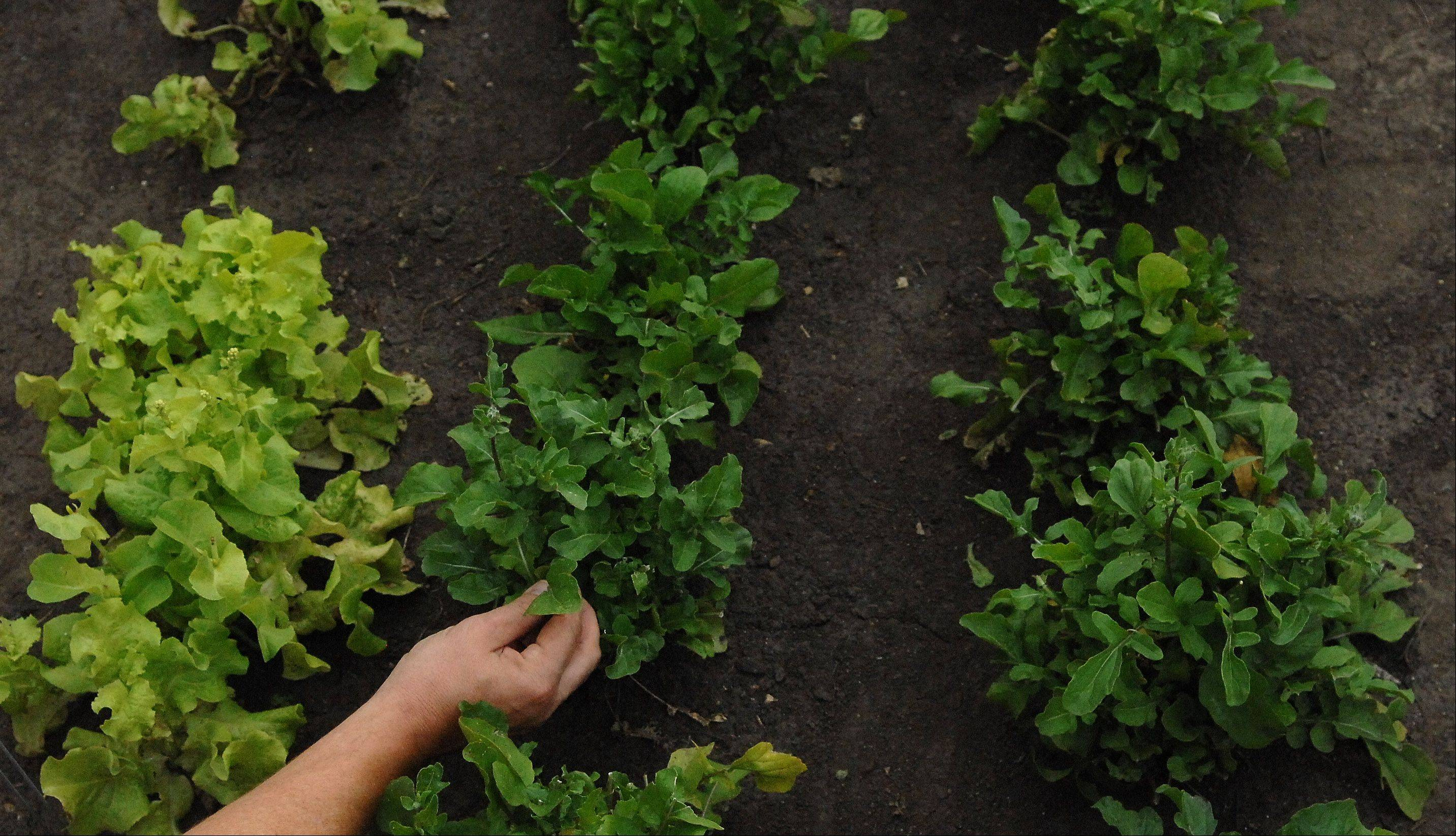 Arugula is one of the many crops growing in Elgin Community College's rooftop garden.