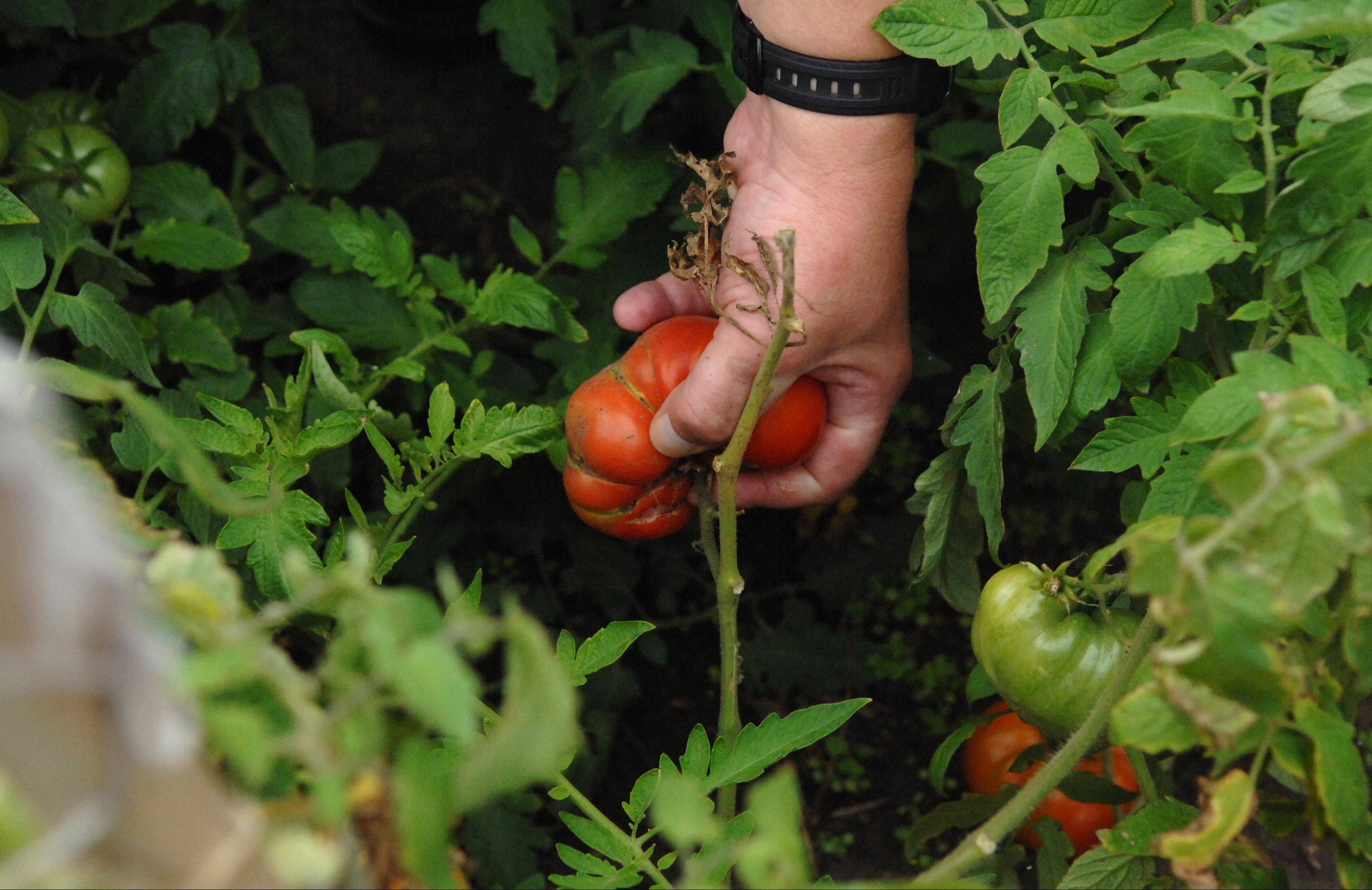 Tomatoes harvested from Elgin Community College's rooftop garden turn up in several dishes on the Spartan Terrace Restaurant menu.