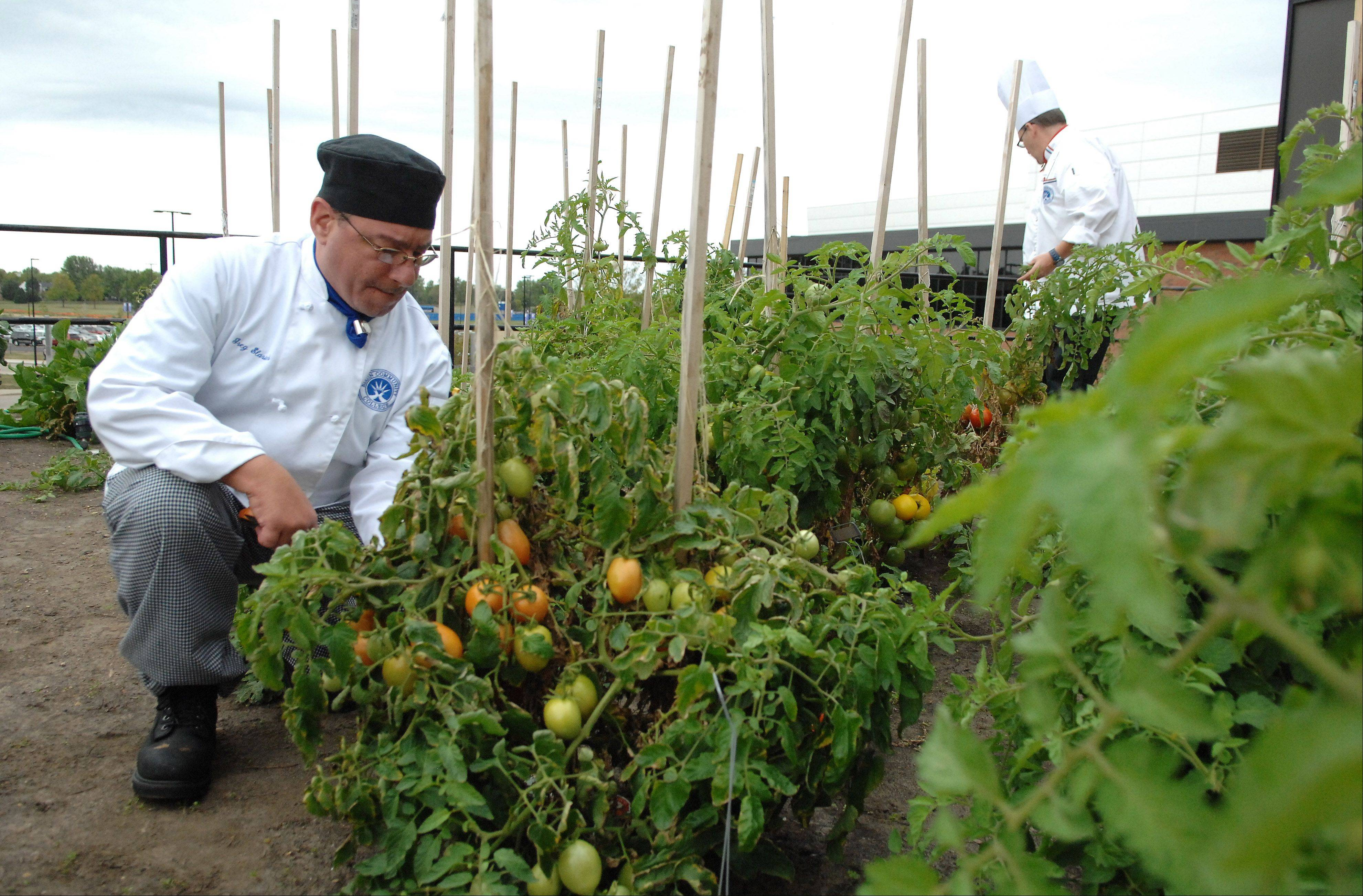 Culinary student Greg Slarich of Elgin, left, and instructor Chef Patrick Stewart pick tomatoes from Elgin Community College's rooftop garden.