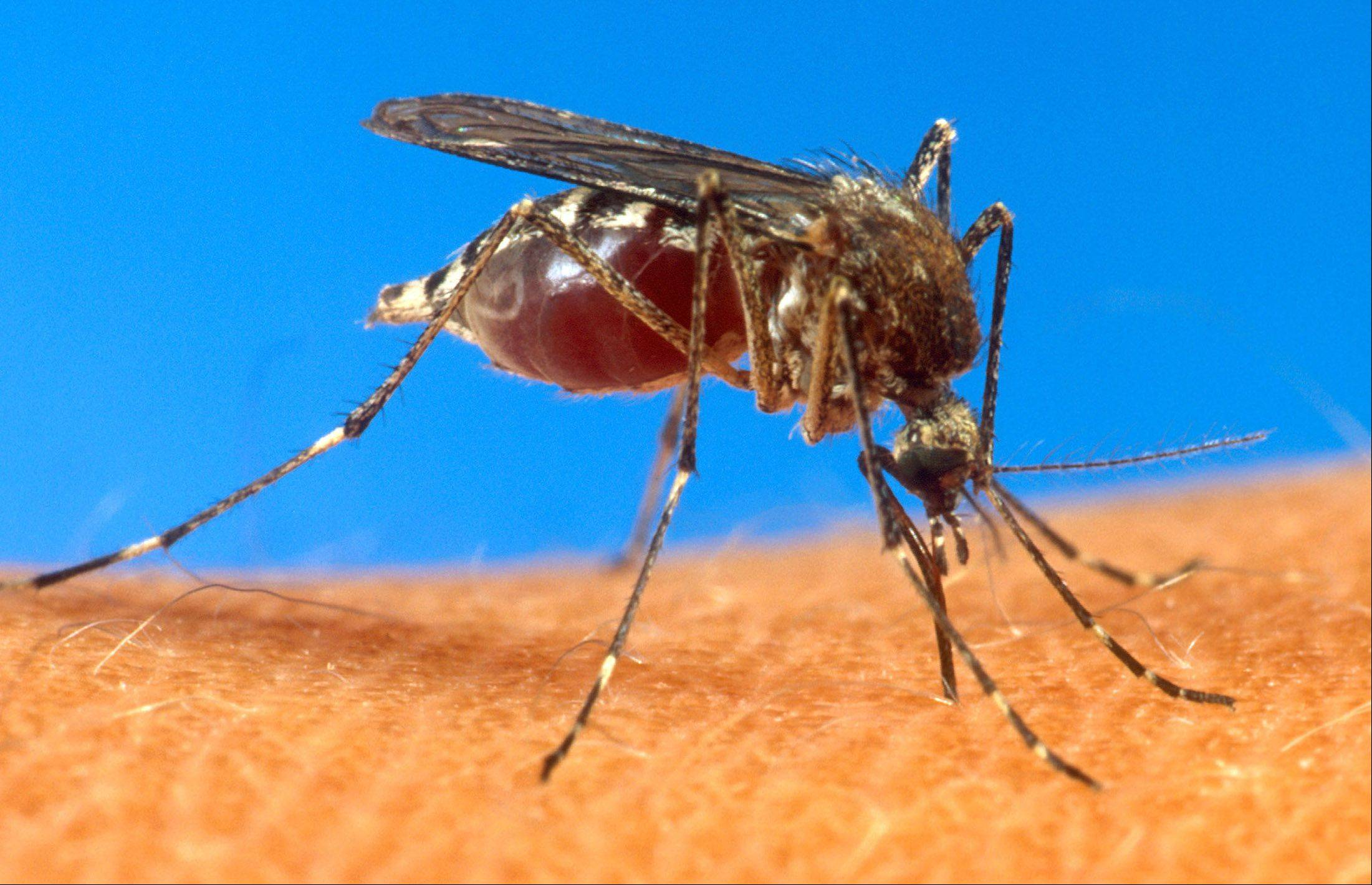 An aedes aegypti mosquito is shown on human skin in a file photo, date and location not known, from the U.S. Department of Agriculture.
