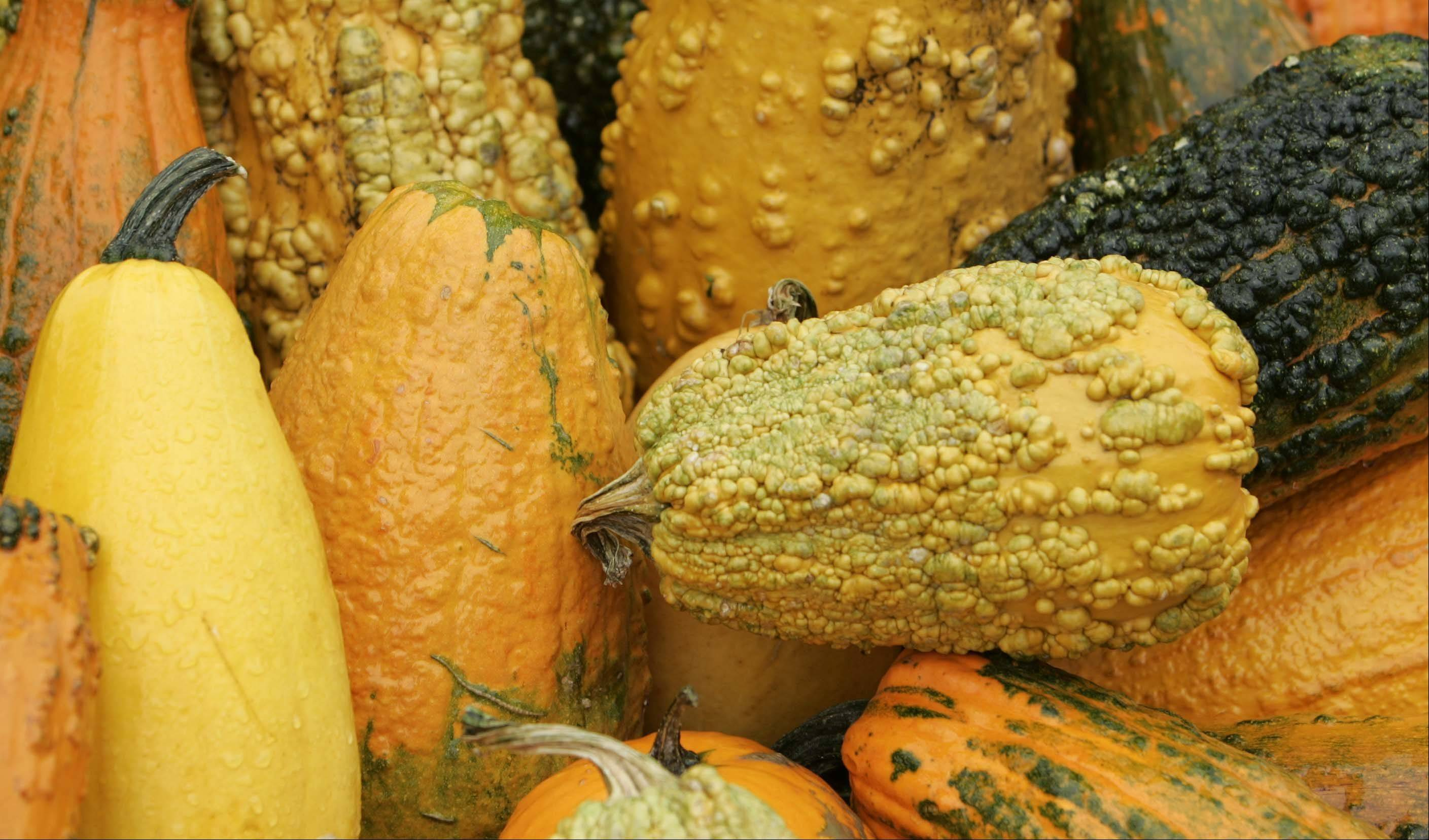 Extra-large bumpy gourds are available for your fall decor needs at Randy�s Vegetables in Sleepy Hollow.