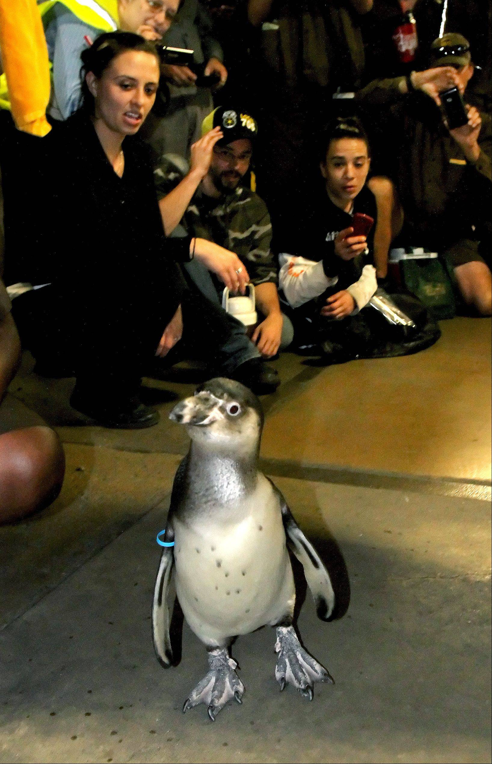 Pepe, a 6-month-old Humboldt penguin from Brookfield Zoo, shows UPS employees in Addison exactly how to walk in slippery conditions.