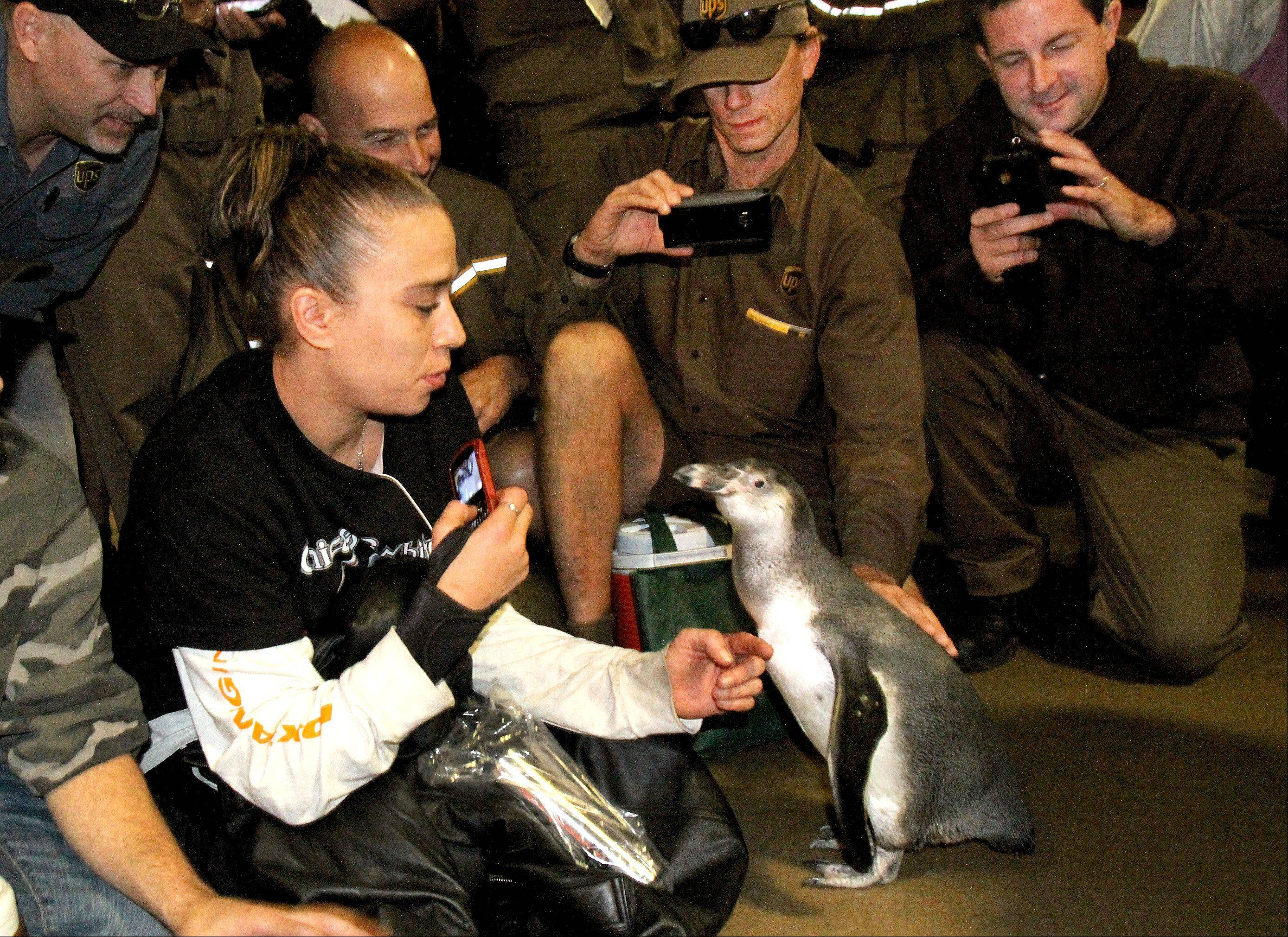 Pepe, a 6-month-old Humboldt penguin from Brookfield Zoo, was a hit Thursday morning at the Addison UPS facility. His visit was part of UPS's Walk Like a Penguin campaign to help promote walking safely on the snow and ice.