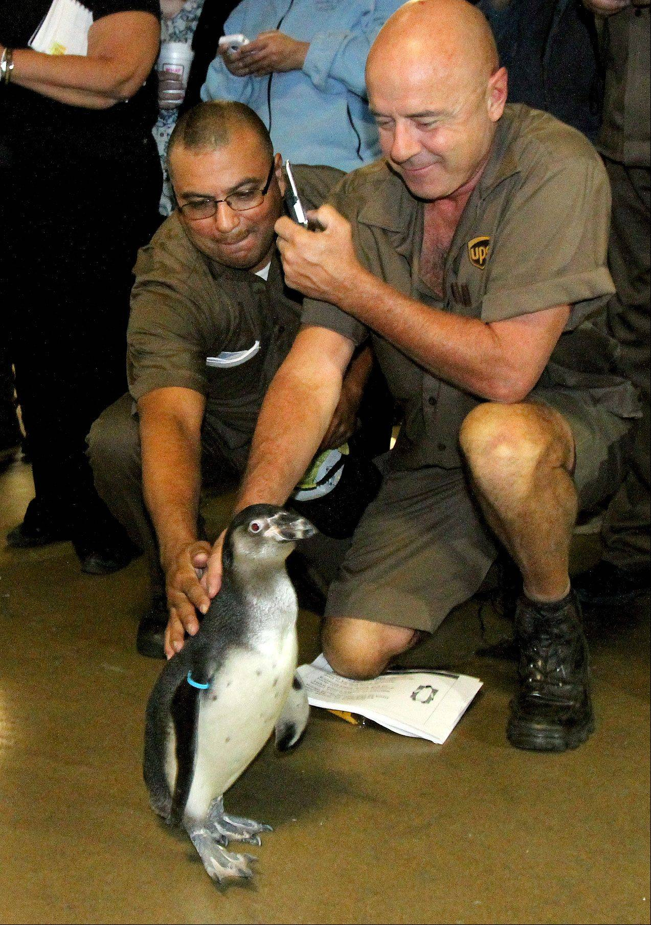 Pepe, a 6-month-old Humboldt penguin from Brookfield Zoo, greeted UPS employees in Addison Thursday as part of UPS's Walk Like a Penguin campaign.