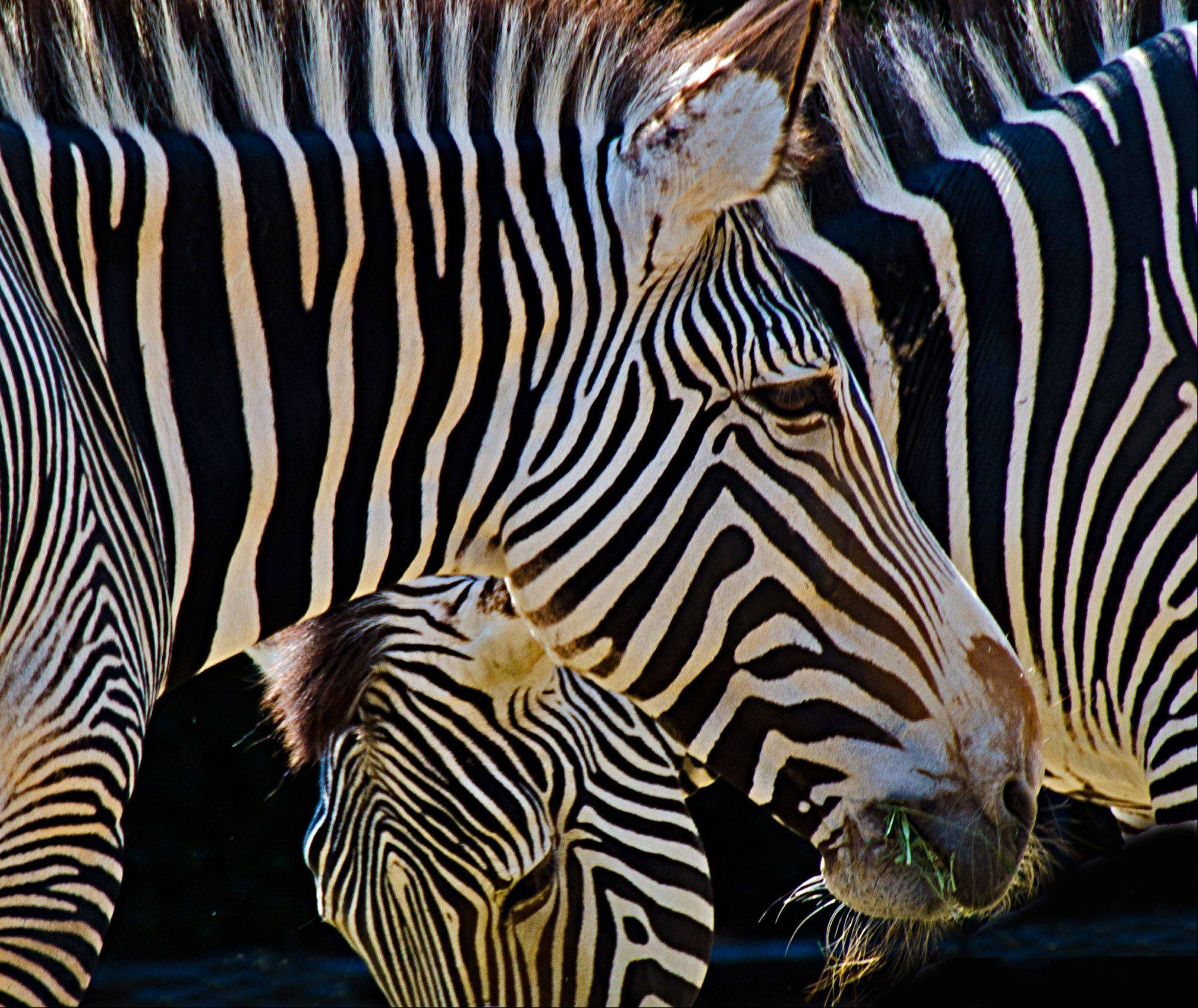 Zebras gather together at the Denver Zoo in mid September.