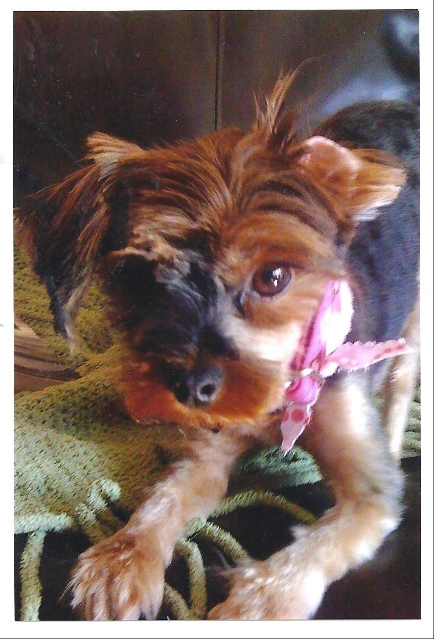 Leslee Bassett's Yorkshire terrier, Coco, was snatched and killed by a coyote Tuesday in Winfield.