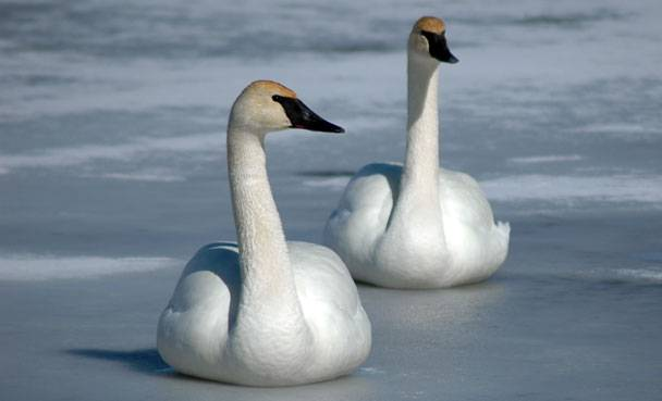 Trumpeter swans came off Wisconsin's endangered species list in 2009 but it's still illegal to kill them under the federal Migratory Bird Treaty Act.