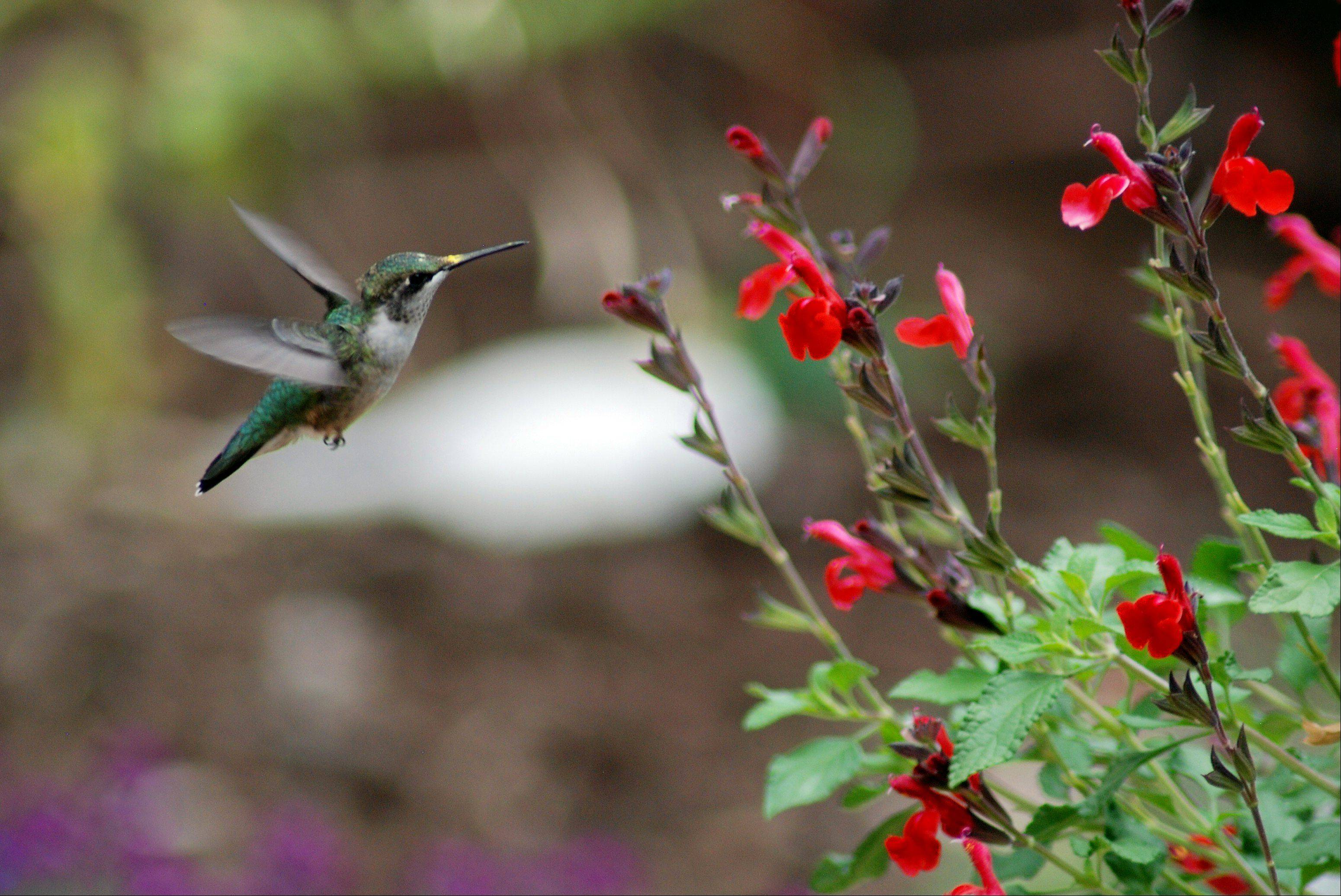 I took this shoot of our humming bird last week. In years past they usually leave about the middle of October, for their long trip to Mexico.