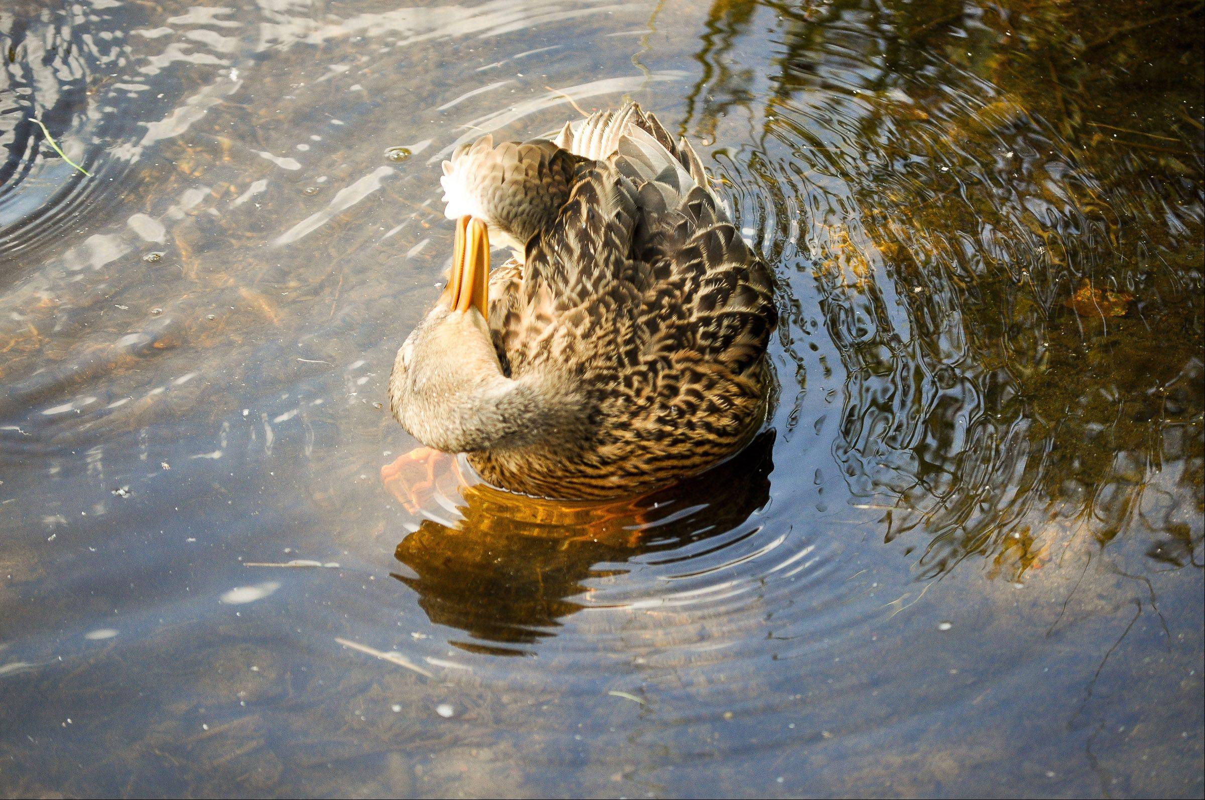 A duck cleans herself in a pond, trying to get to hard to reach places.