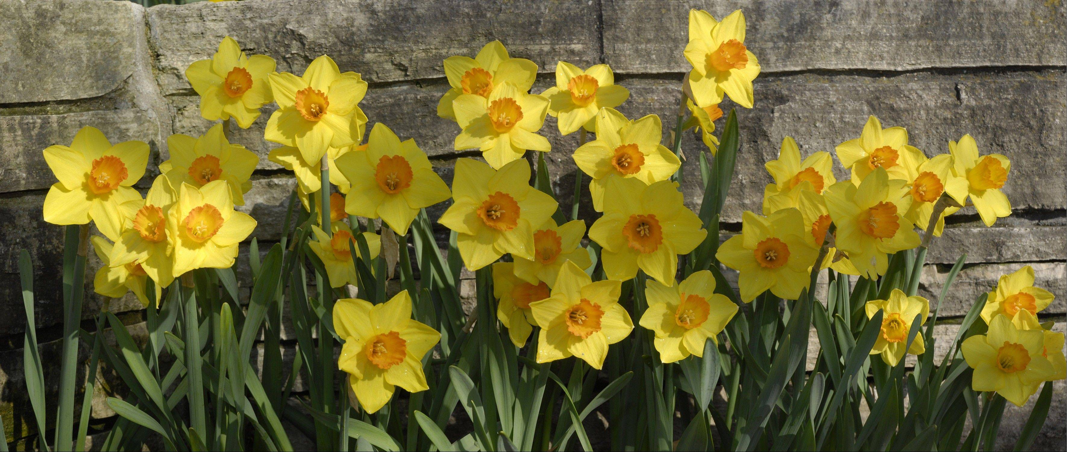 Planting several daffodil varieties with a range of bloom times can yield three to five weeks of steady bloom.