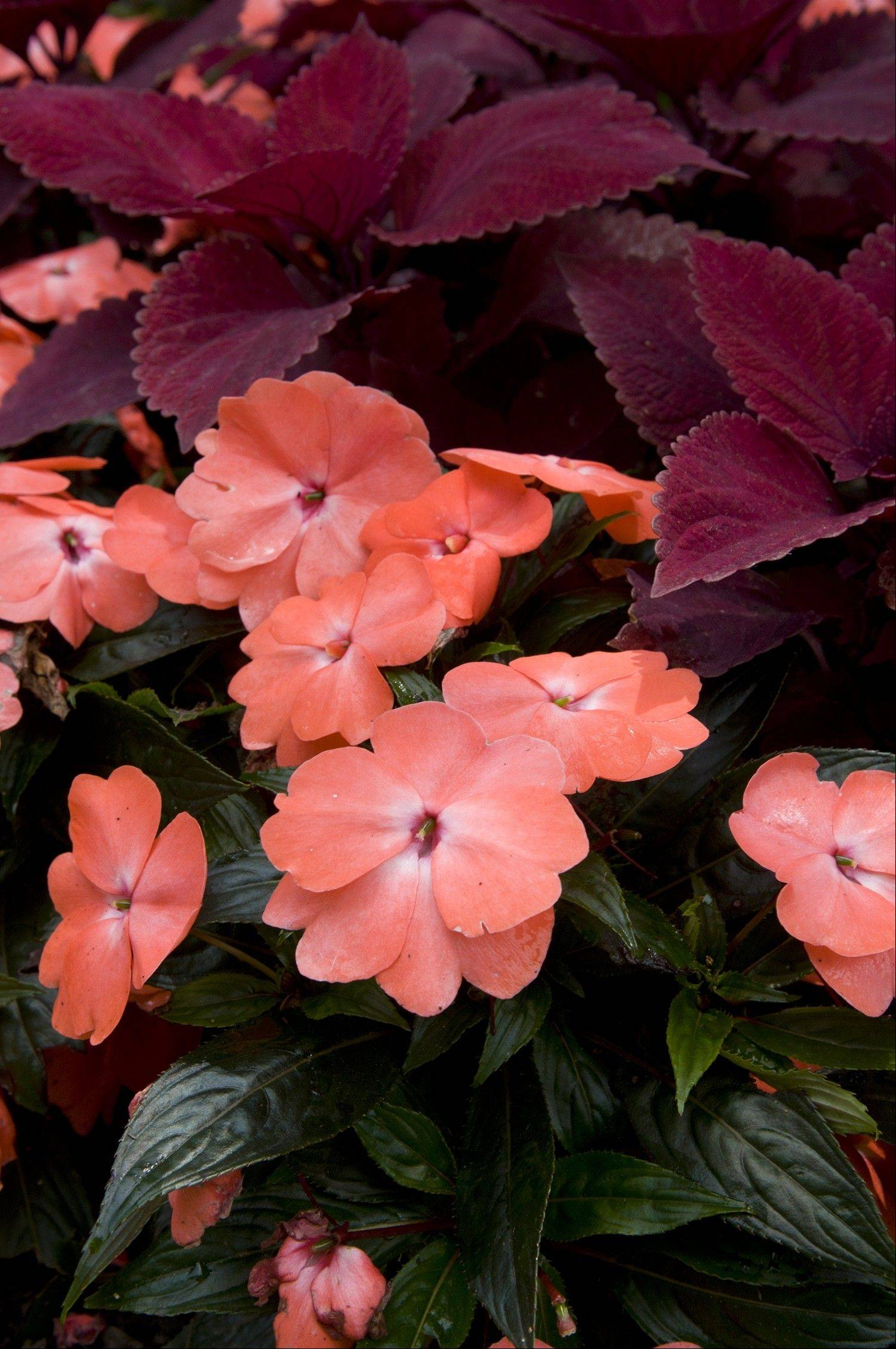 Some types of impatiens are more susceptible to downy mildew, a fungal disease, but New Guinea impatiens (Impatiens hawkerii ) are highly resistant.