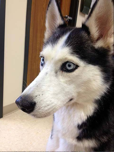 Now Shakira, a 6-year-old female Siberian husky who was missing for nearly five years, will be an inside dog, her owner says.