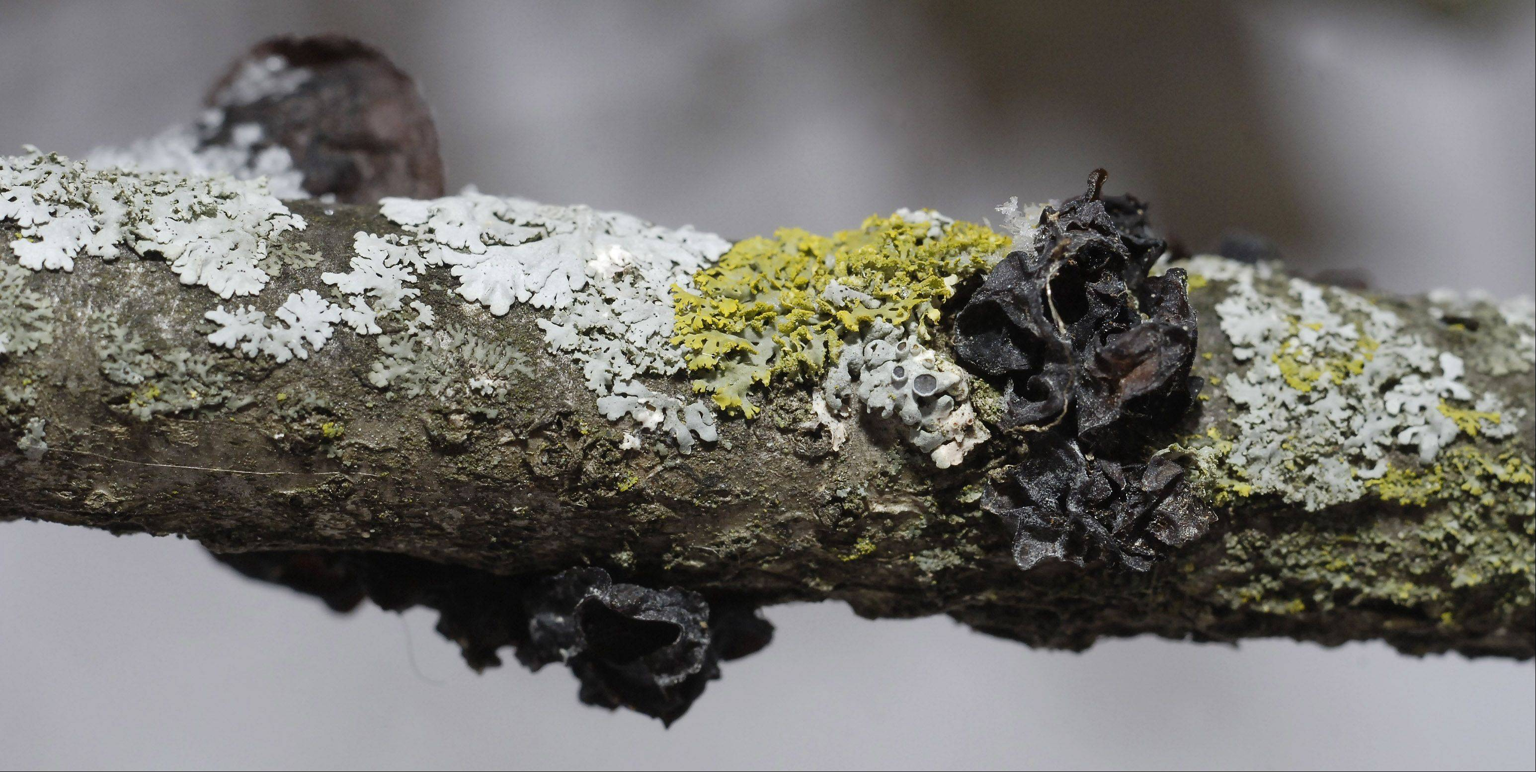 Lichen and jelly fungus share a tree branch at Tekakwitha Woods in St. Charles. The gray-colored lichen is called Physcia millegrana, the orangish-greenish is Candelaria concolor. Jelly fungus is the wavy brown gelatinous growth on far right, which is called Tremella foliacea.
