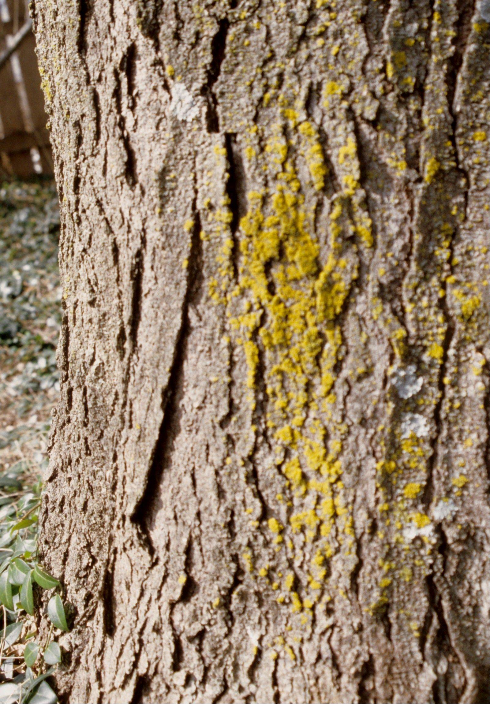 Lichens, a partnership between algae and fungi, come in different colors, can live on tree trunks for many years, and do no harm.