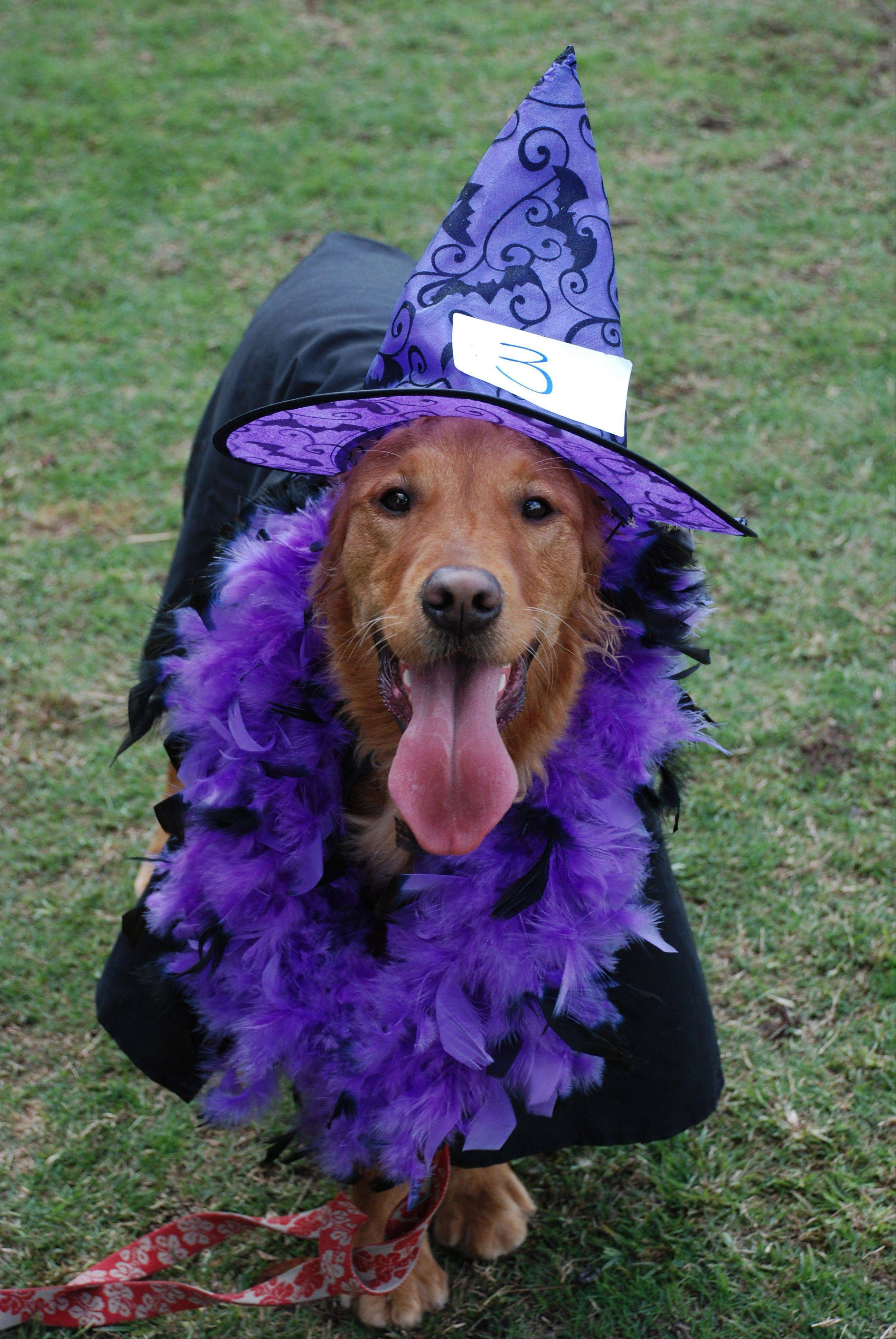 This Oct. 31, 2010 image provided by Sue Subkow shows Andra Lew's golden retriever, Kalani, dressed as a witch at the San Diego Golden Retriever Meetup Group's Halloween Pooch Party in San Diego, Calif. As Halloween has grown in popularity across the country, real party animals have been a big part of it, experts say.