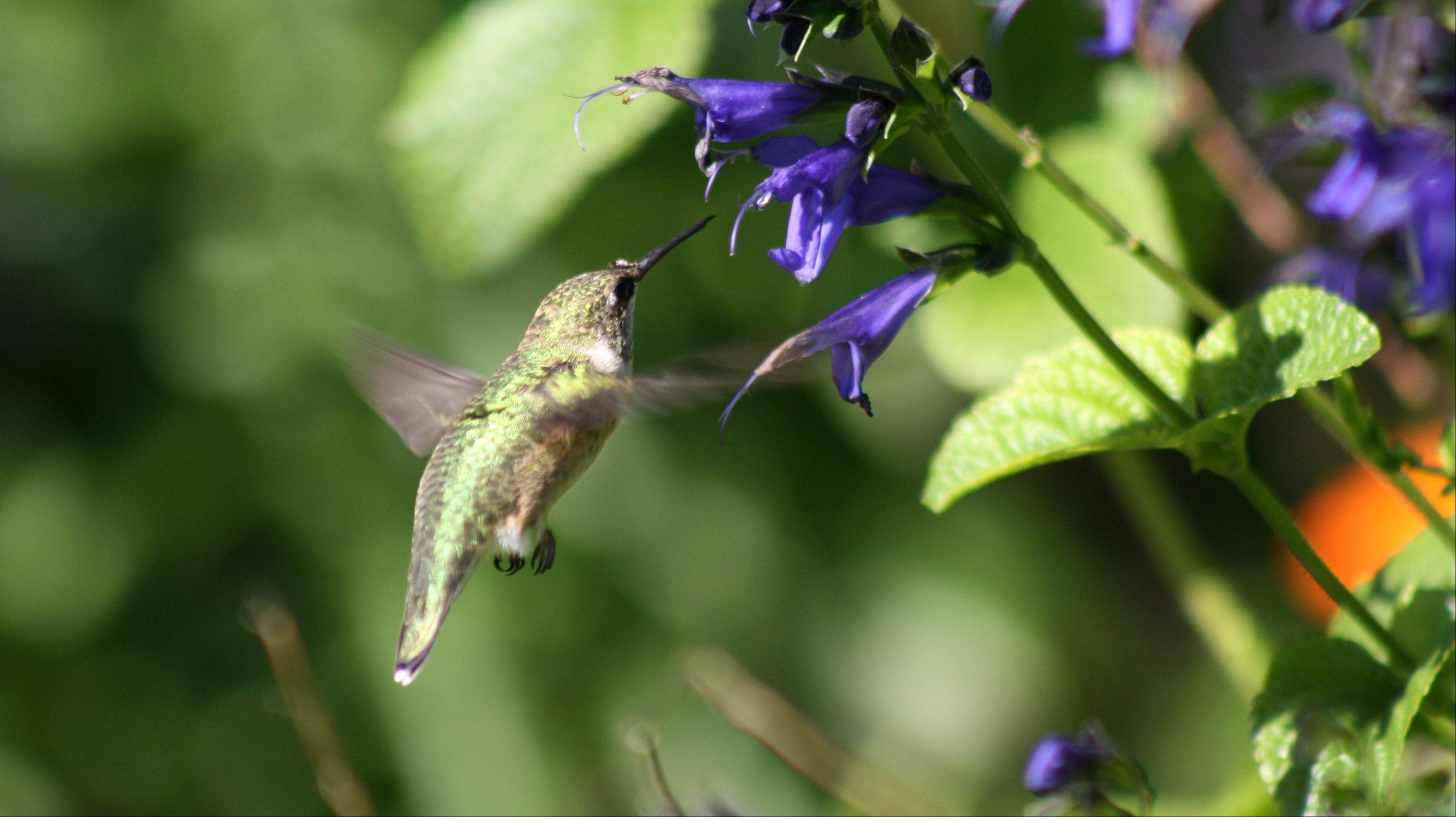 "After two years of trying, Bensenville's Skylar Dolecki says she finally was able to capture a picture of a hummingbird. ""This little ruby-throated hummingbird was flying around the zinnias at the Chicago Botanical Garden,"" she says."