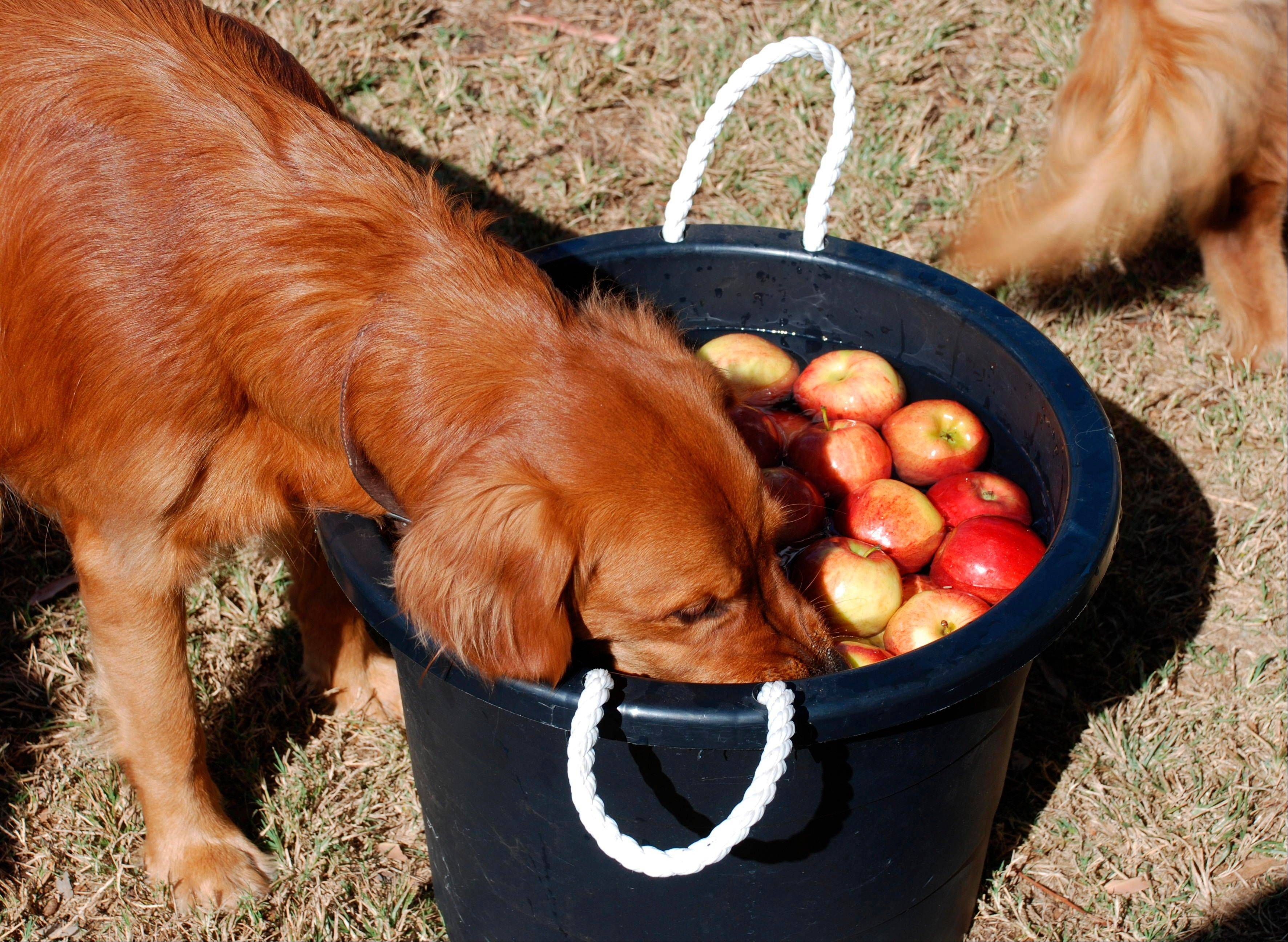 This Oct. 31, 2010 image provided by Sue Subkow shows Nita and Jody Kriesch's golden retriever, Mackenzie, bobbing for apples at the San Diego Golden Retriever Meetup Group's Halloween Pooch Party in San Diego, Calif. Subkow's parties have included bobbing for frozen hot dogs and apples.